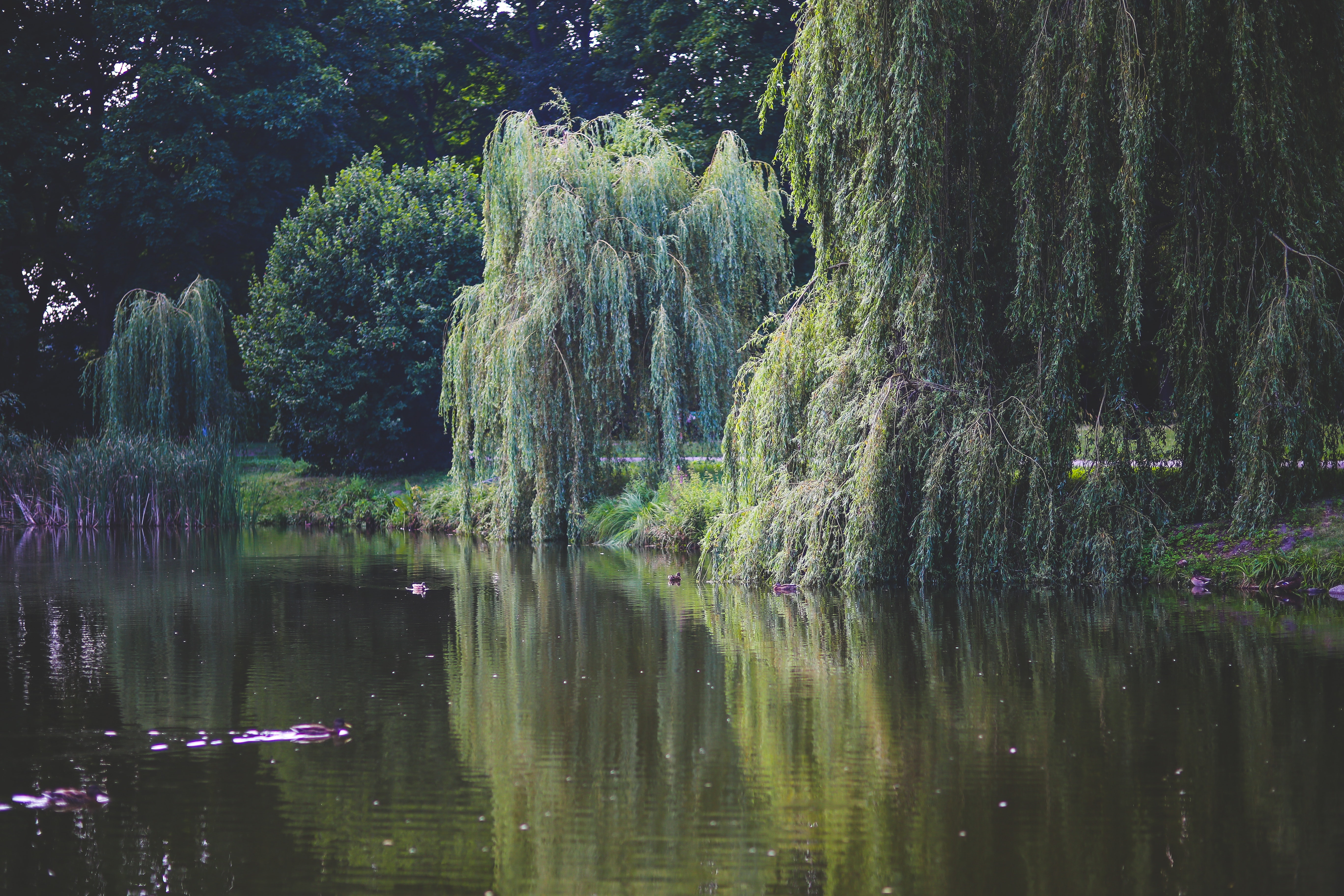 Willow that grow along the river photo