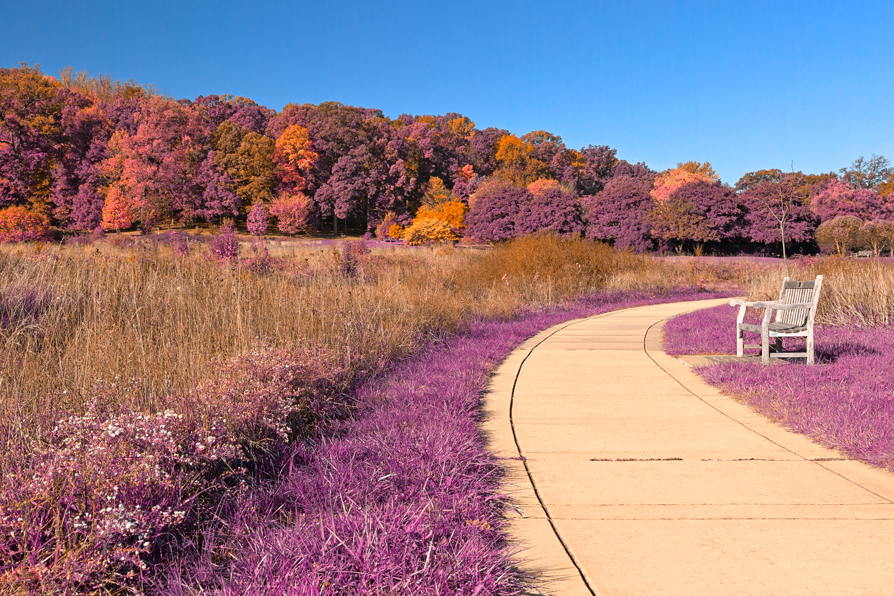 Winding lavender fantasy path - hdr photo