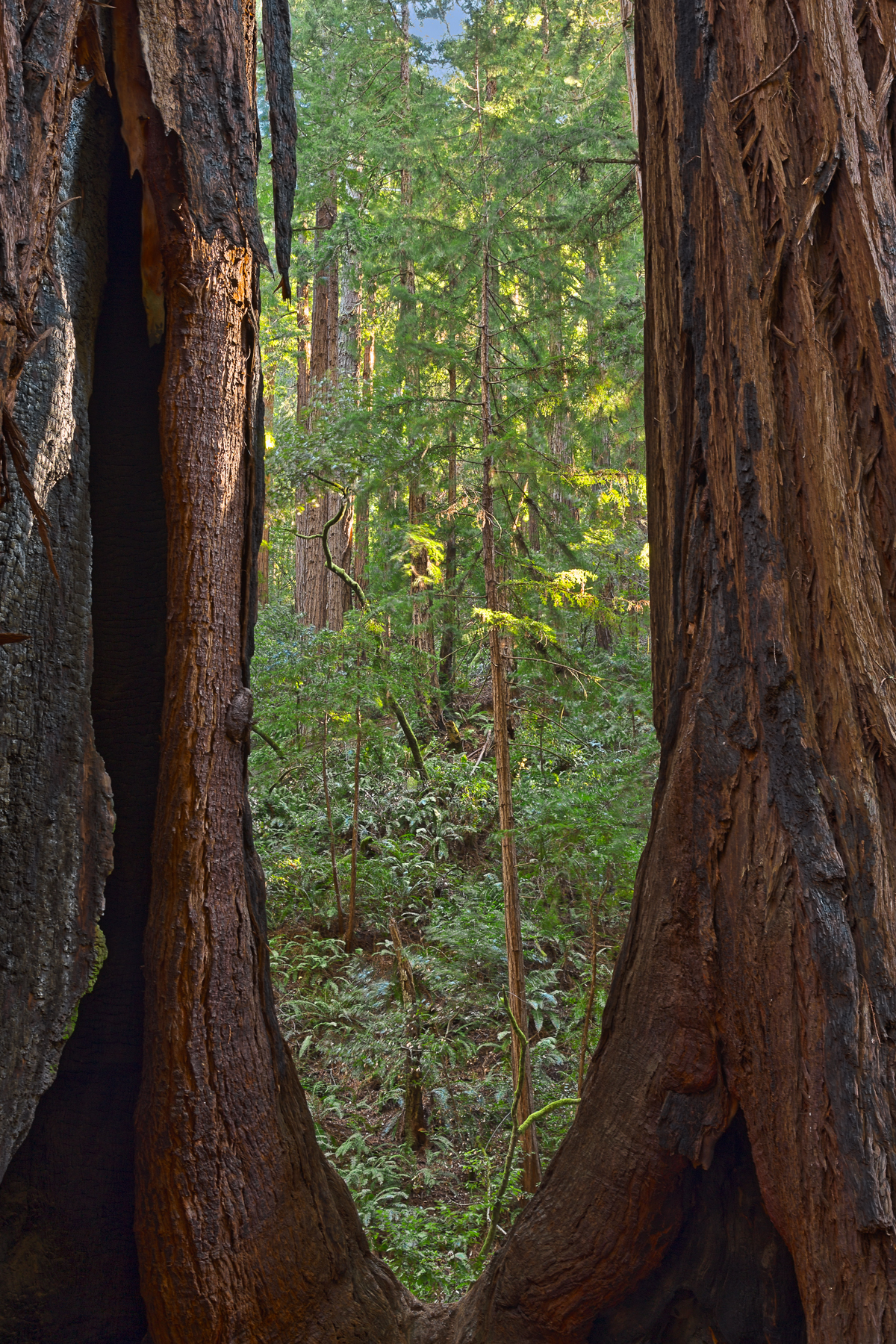Window to Muir Woods - HDR, America, Pretty, Sequoia, Sempervirens, HQ Photo