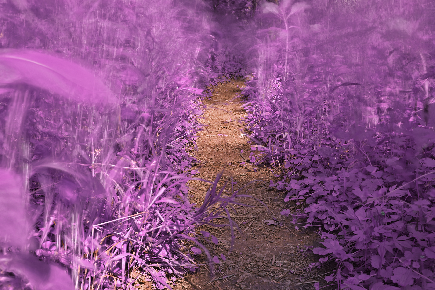 Windy goose creek trail - lavender fantasy hdr photo