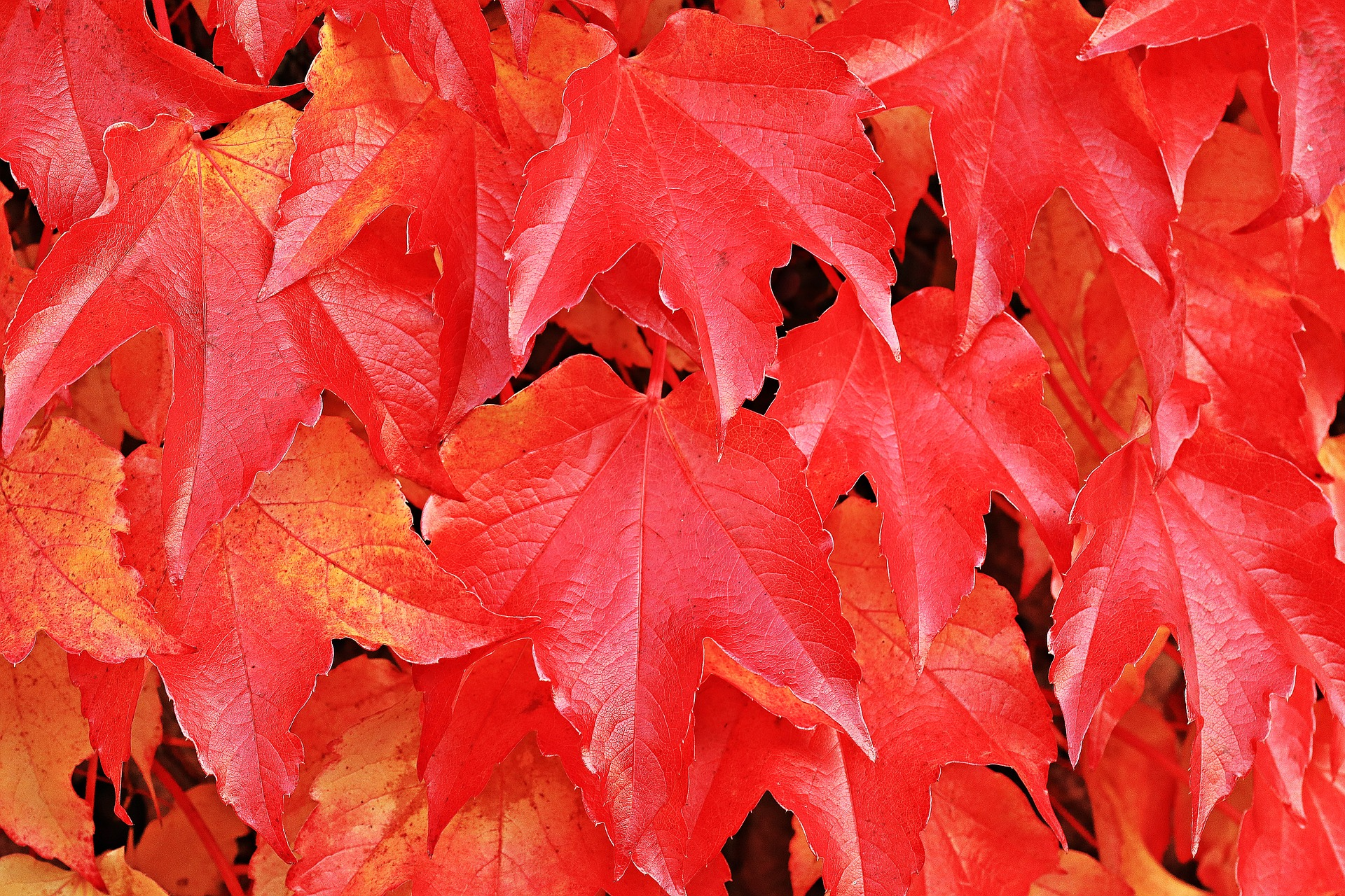 Wine Partner, Autumn, Fallen, Leaf, Leave, HQ Photo
