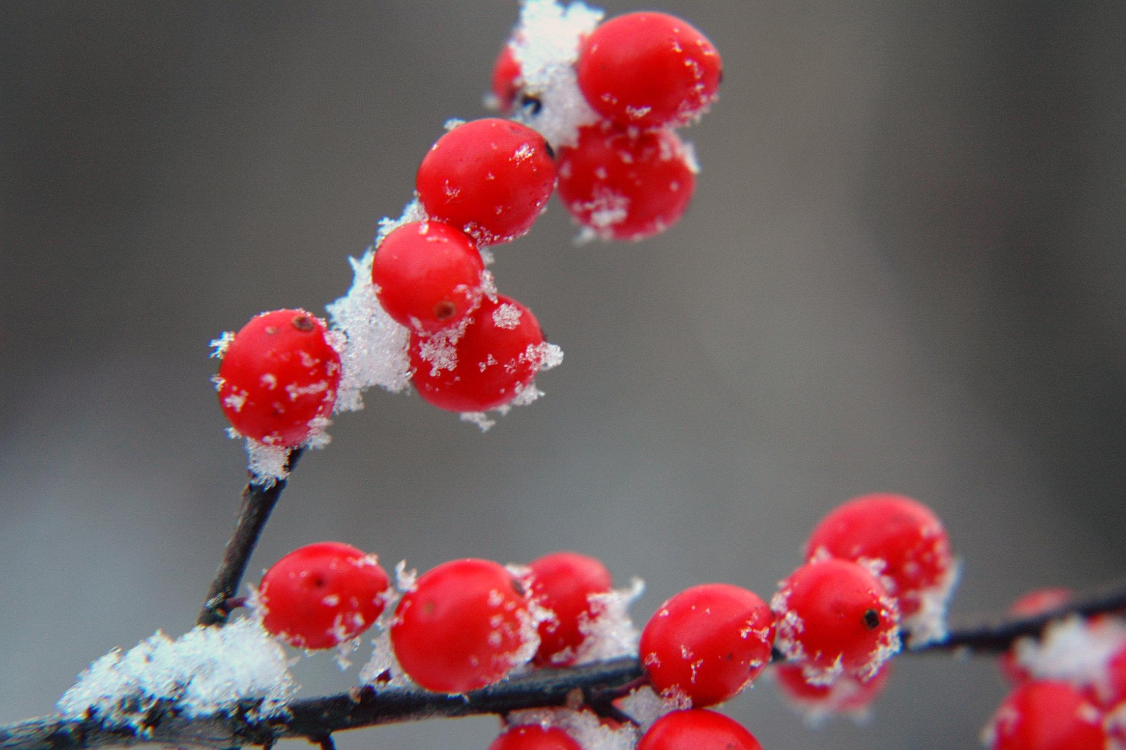Winter berries photo