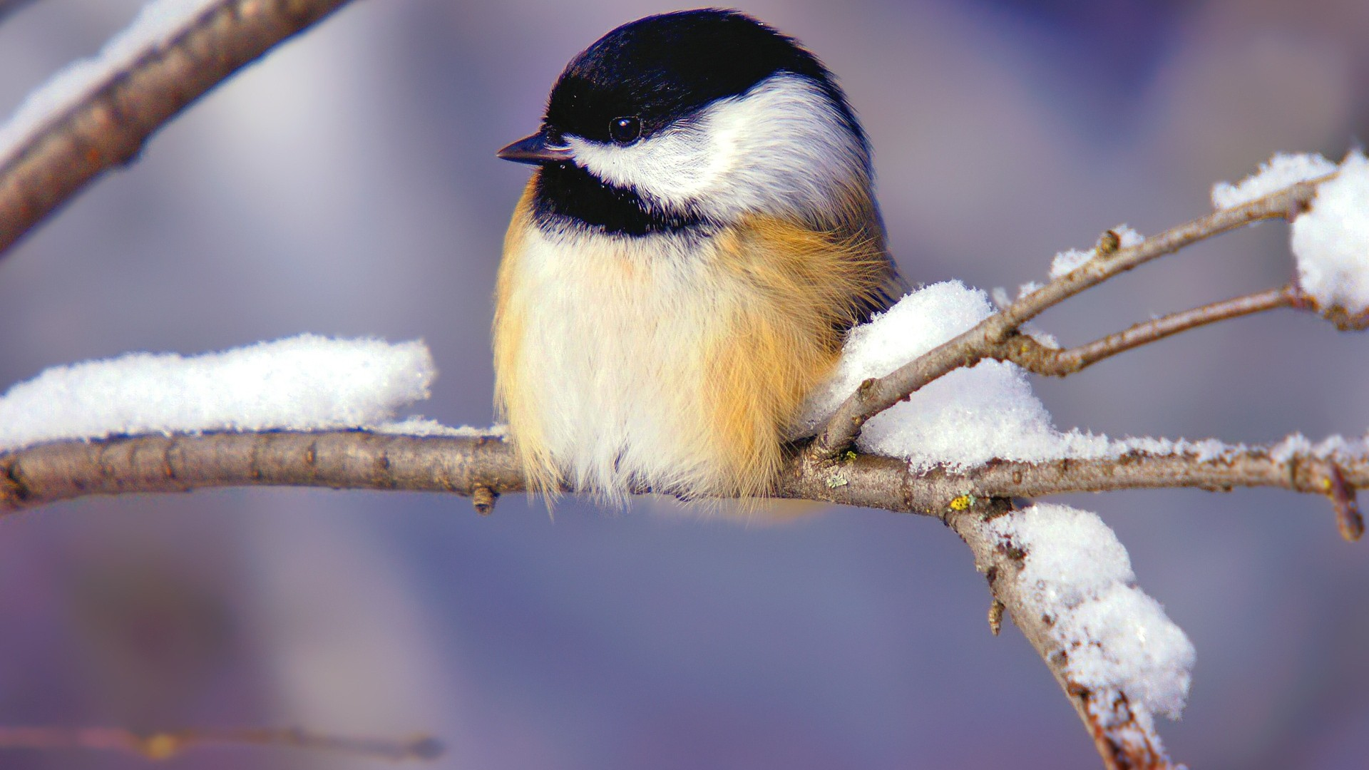 Tiny WInter Bird Wallpapers - New HD Wallpapers