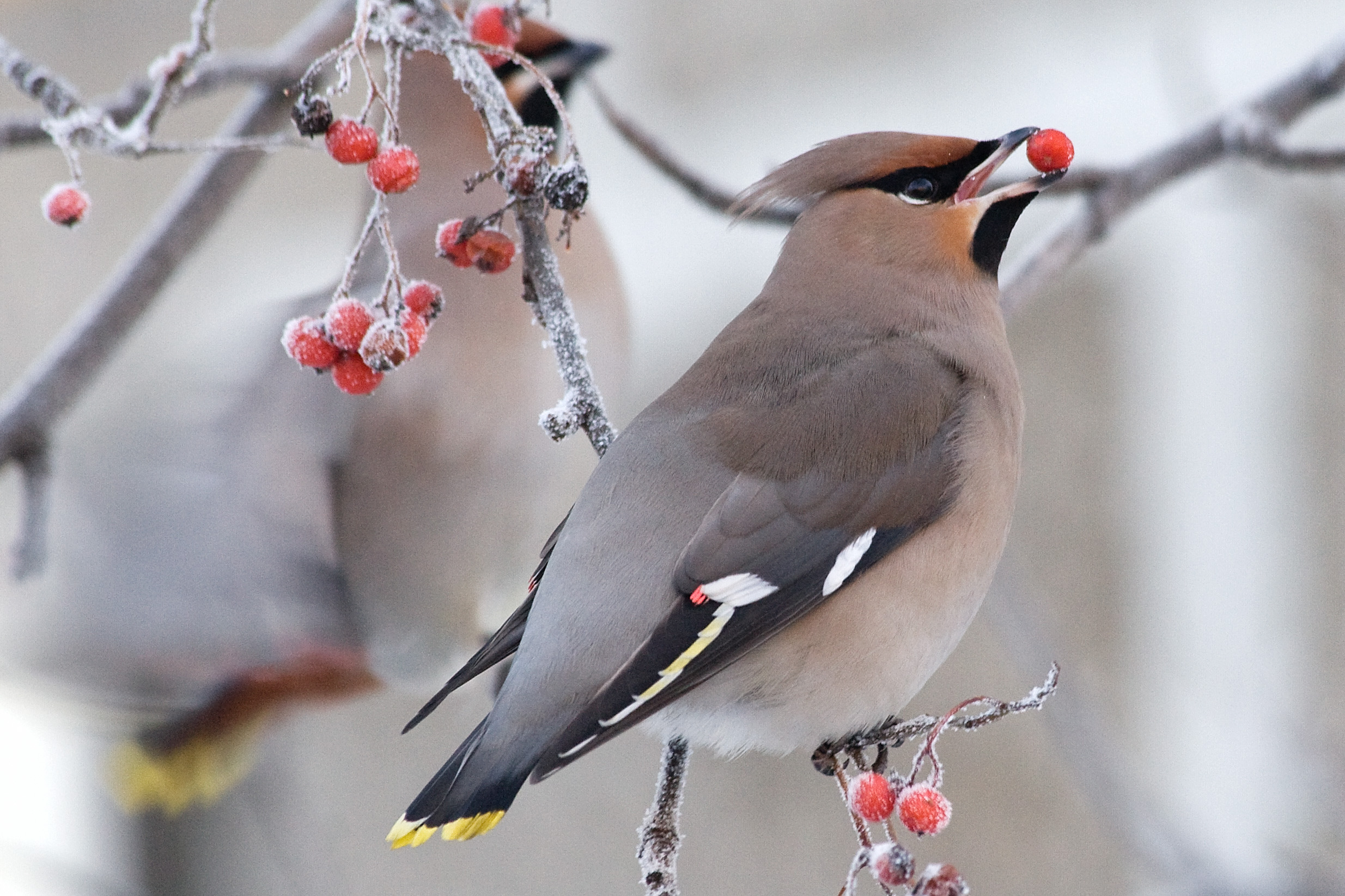 Winter Berries for Birds : The National Wildlife Federation Blog