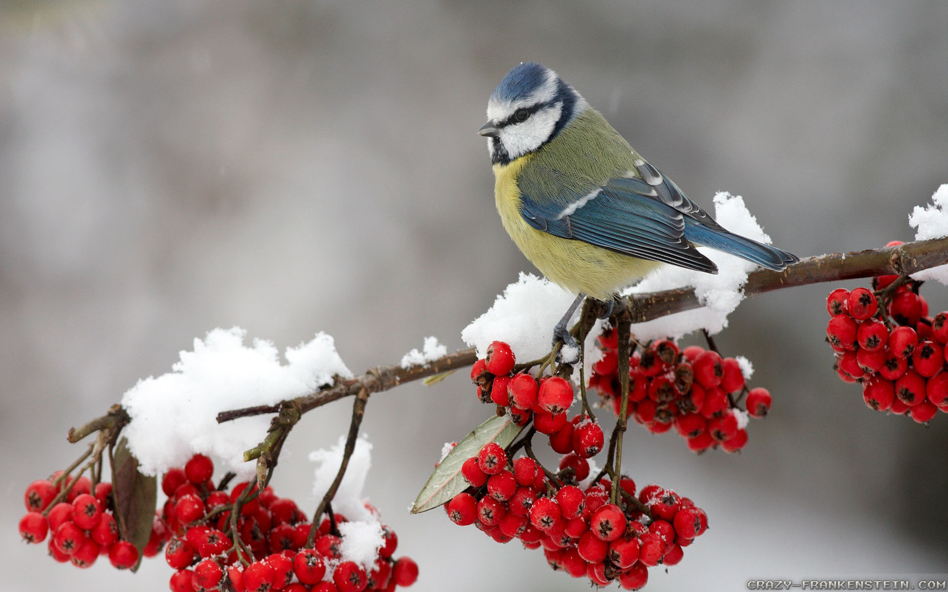 Winter bird images - photo#34