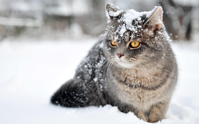 Free Photo Winter Cat Cat Con0207 Furry Free Download Jooinn