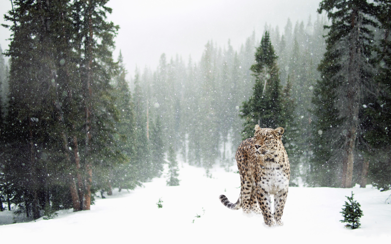 Free picture: tree, snow, leopard, animal, predator, winter, landscape