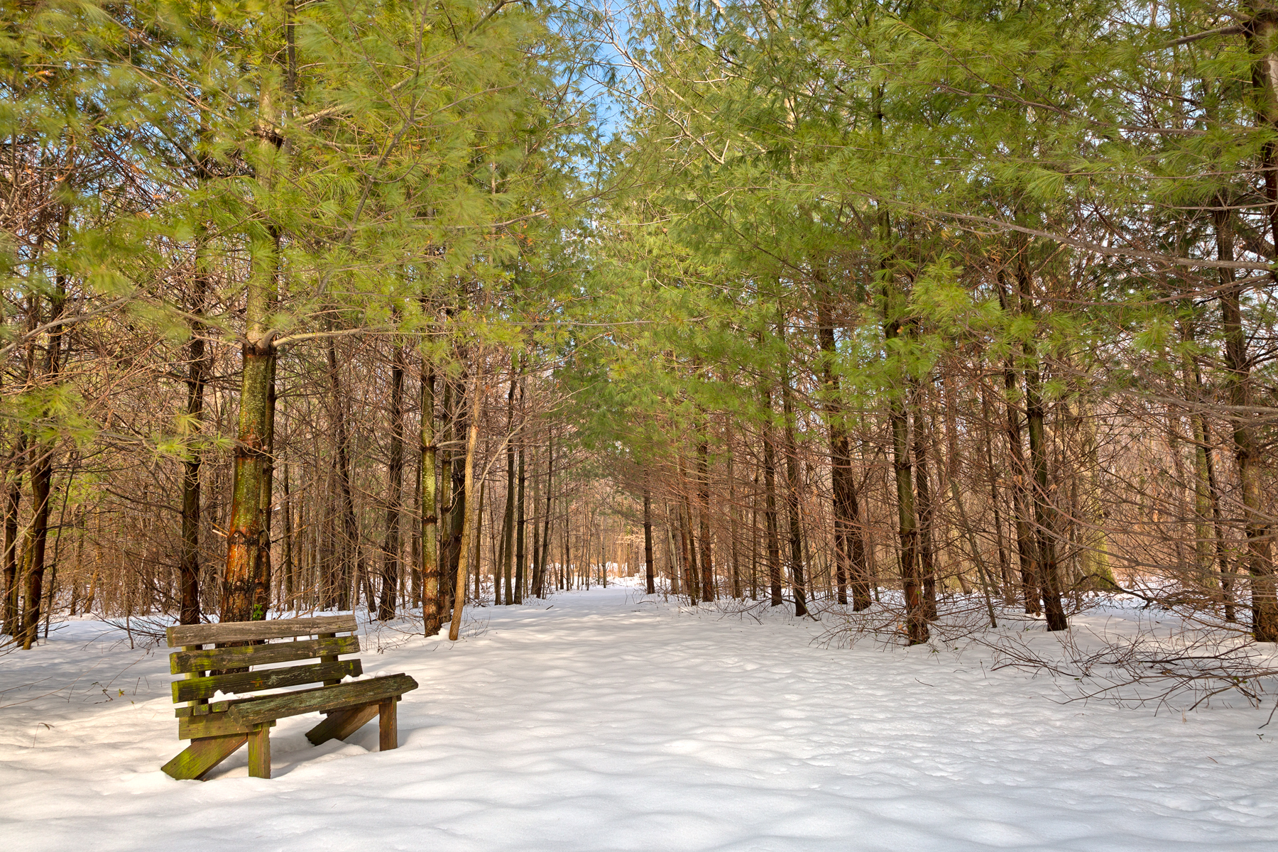 Winter pine trail - hdr photo