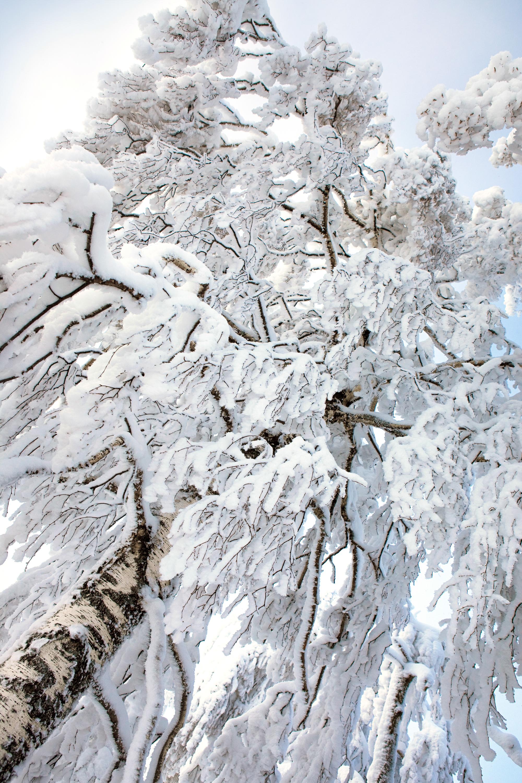 winter tree, Beautiful, Snowy, Rime, Silence, HQ Photo