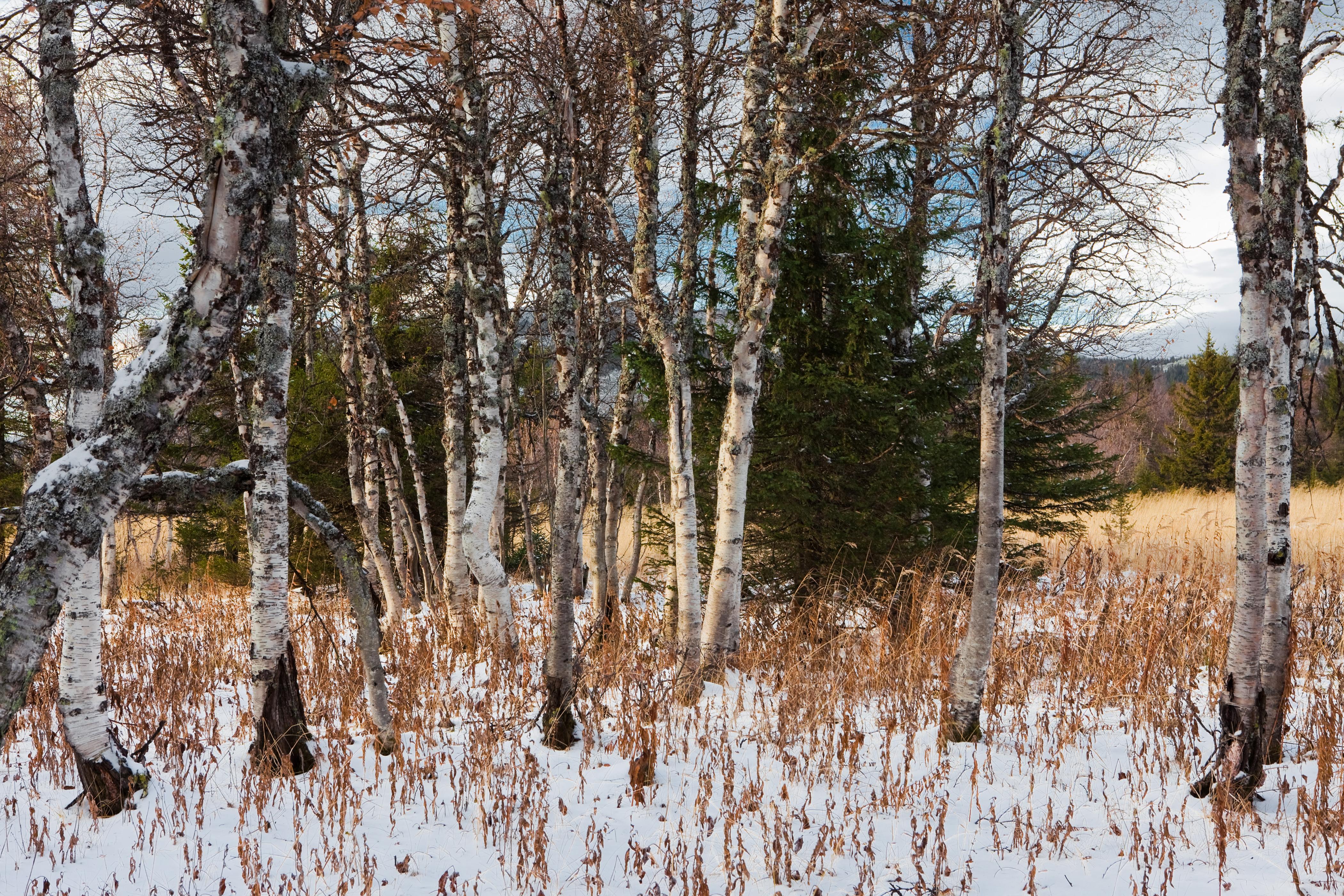 Winter trees photo