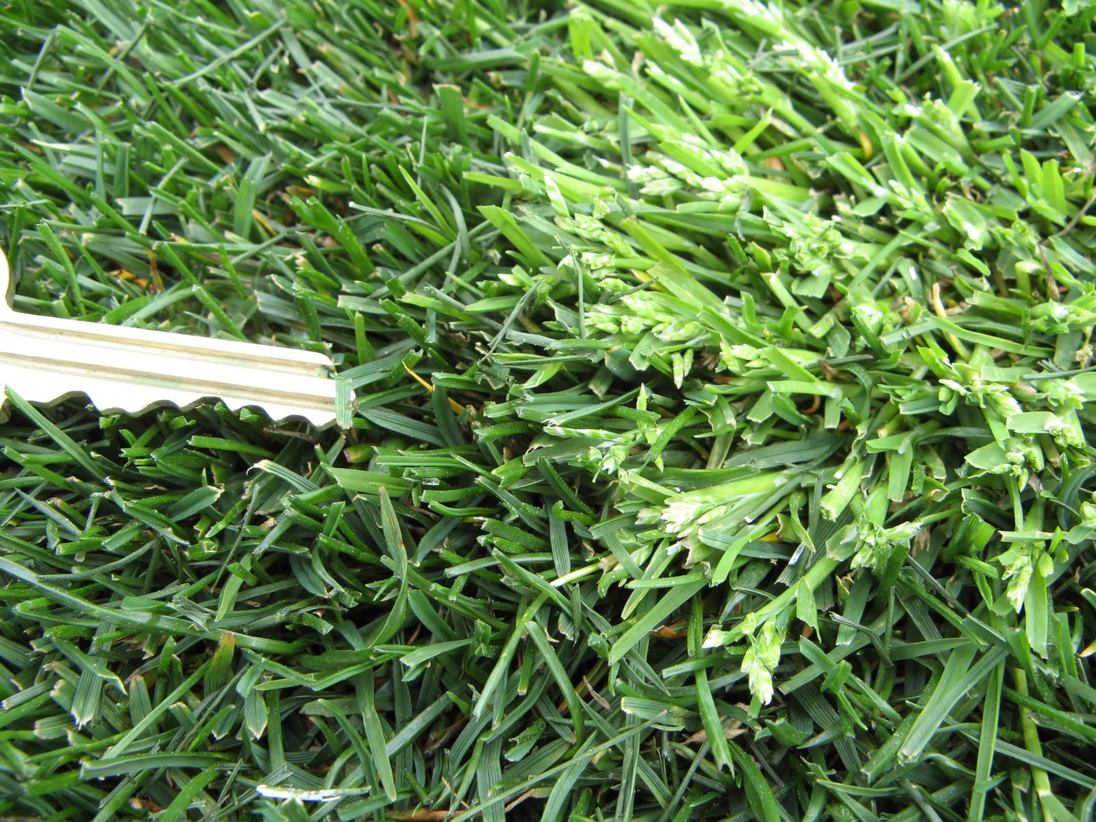 Purdue Turf Tips: Winter Annual Weeds