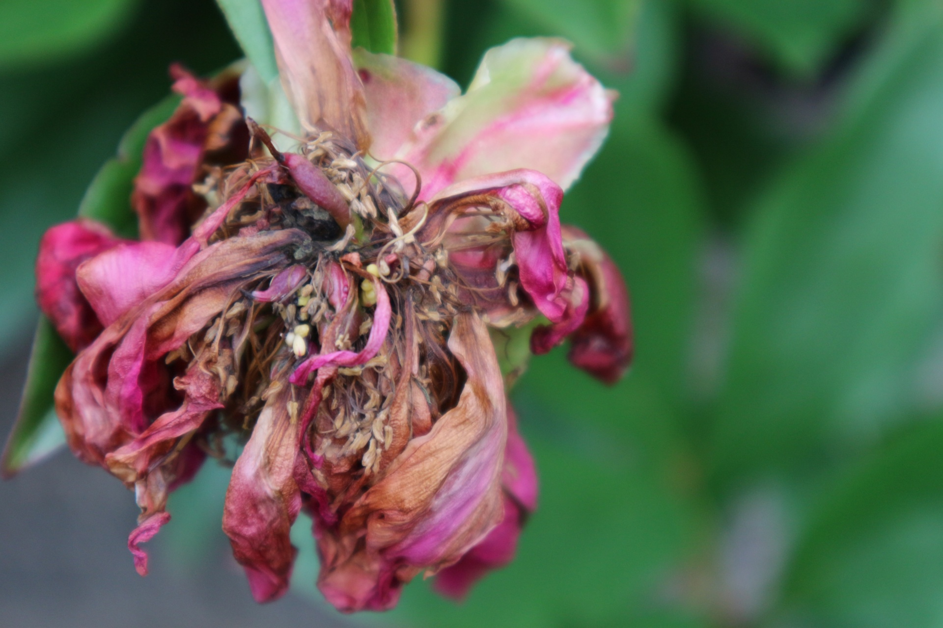 Withered flower photo