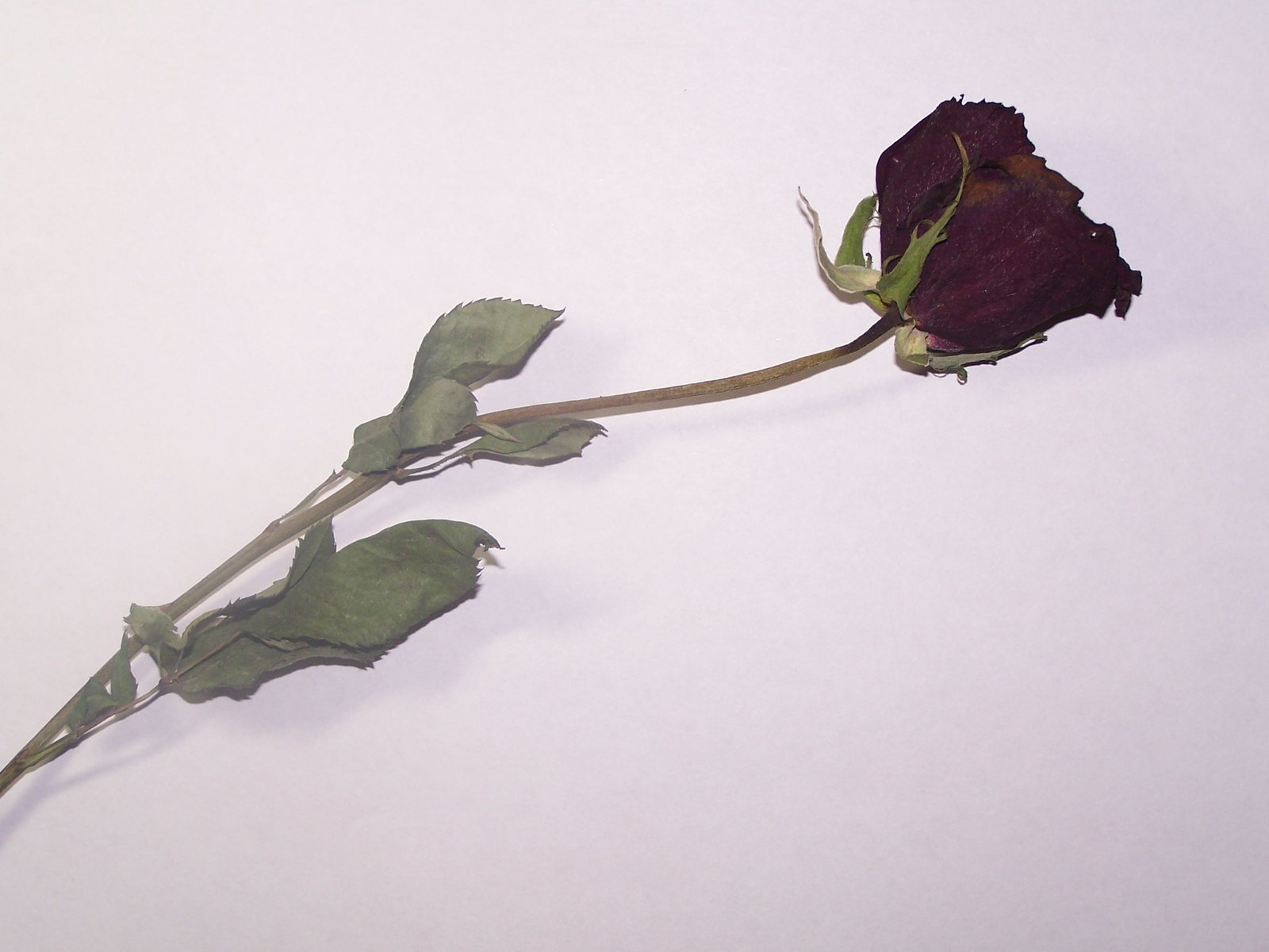 Withered Rose by angel0lynne on DeviantArt