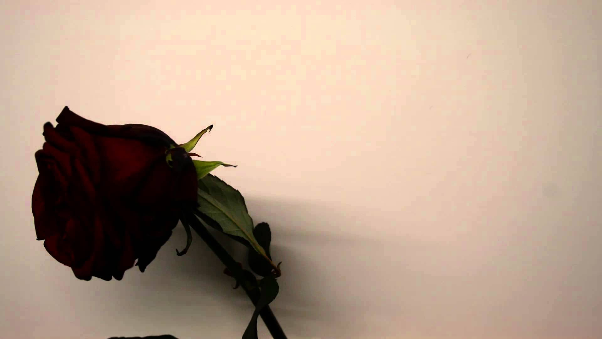 Withering Rose Time Lapse - YouTube