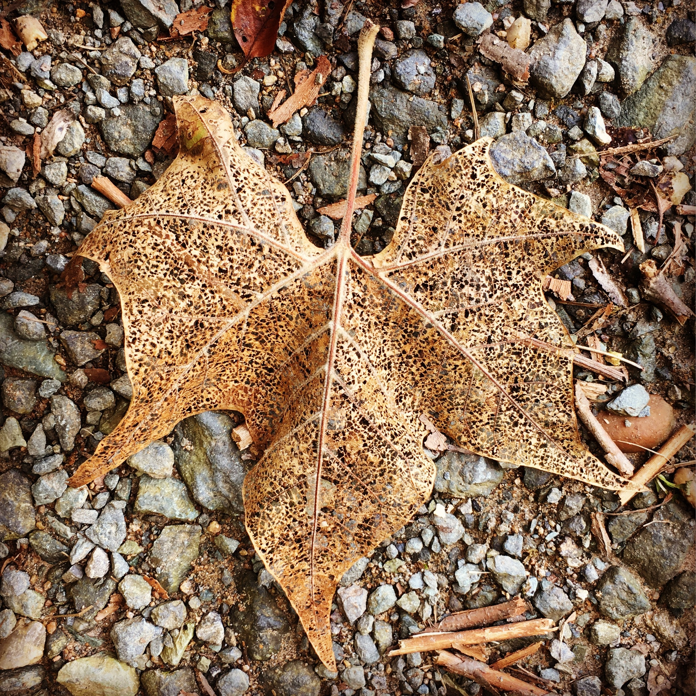 Withered maple leaf photo