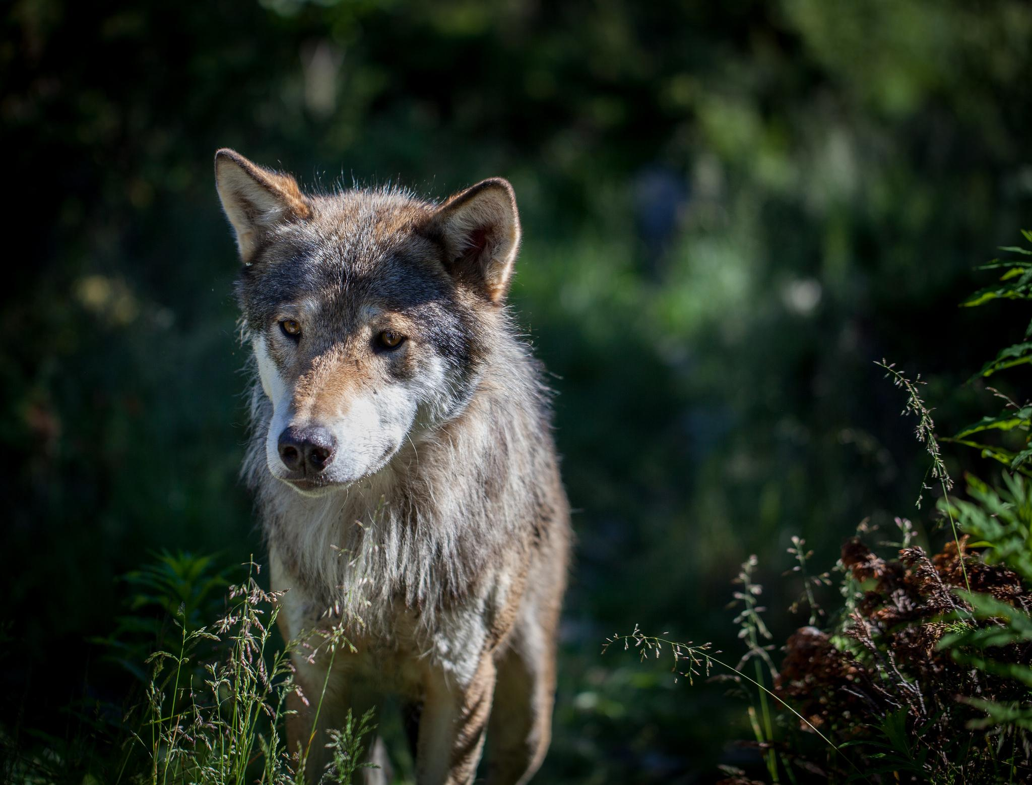 Wolf (Canis Rufus) - Animals - A-Z Animals