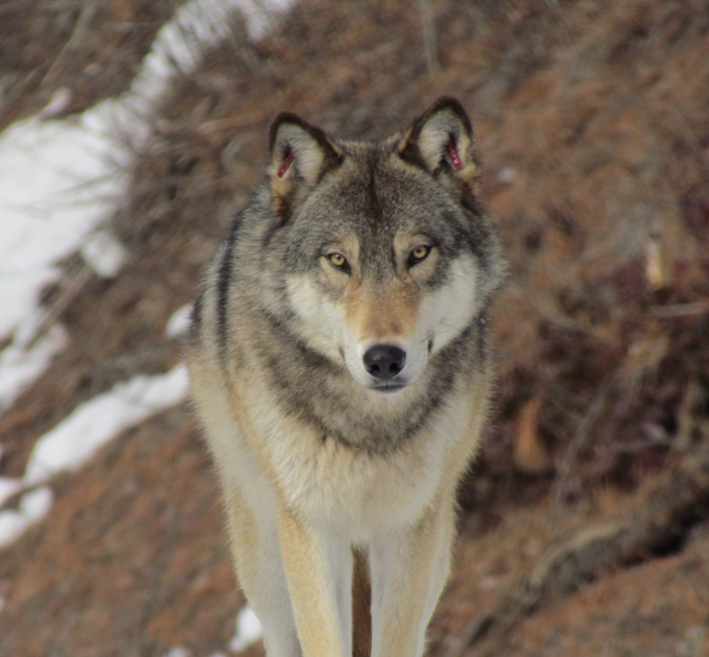 Washington's Wolves | Conservation Northwest