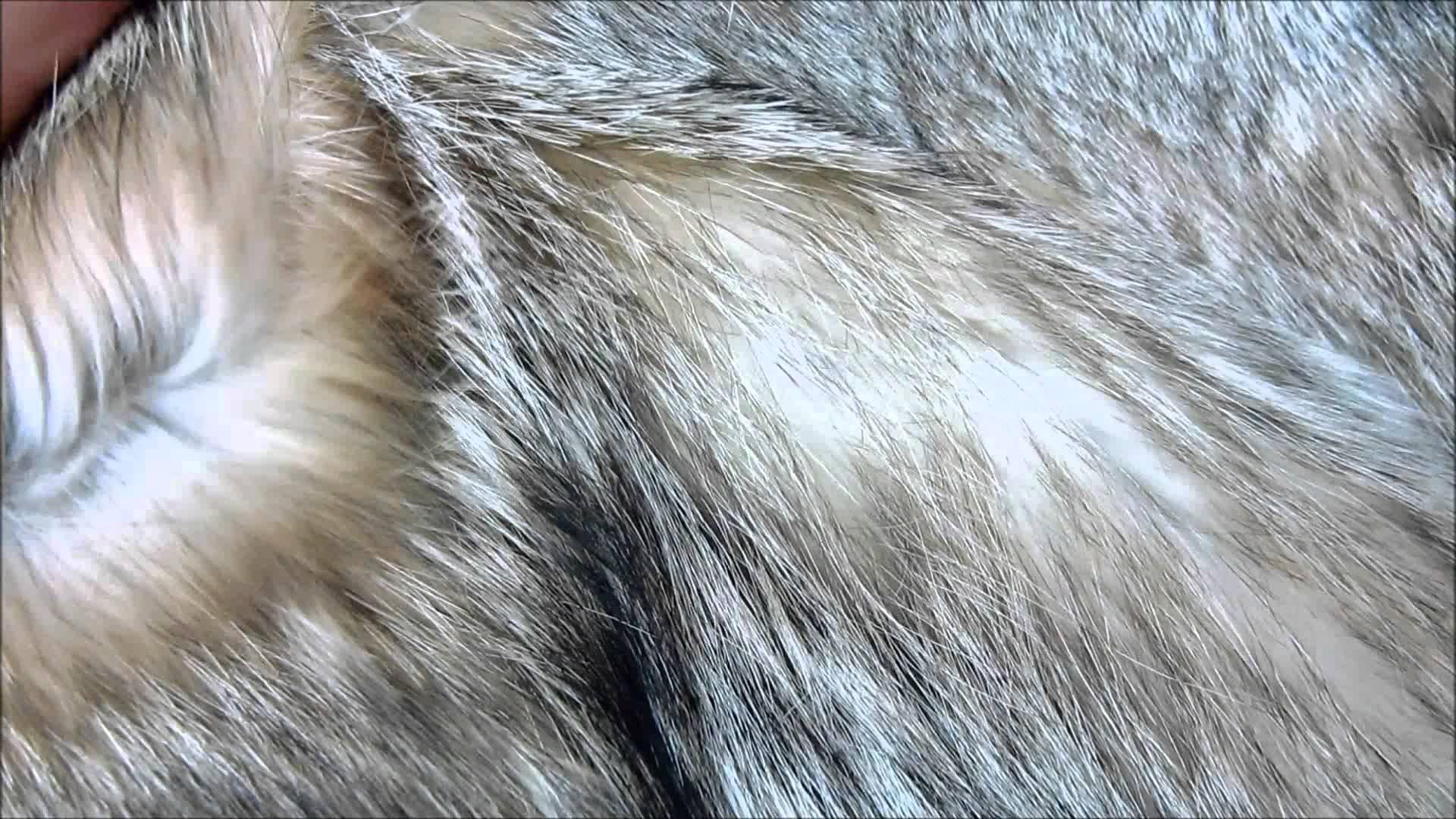 Wolf fur photo