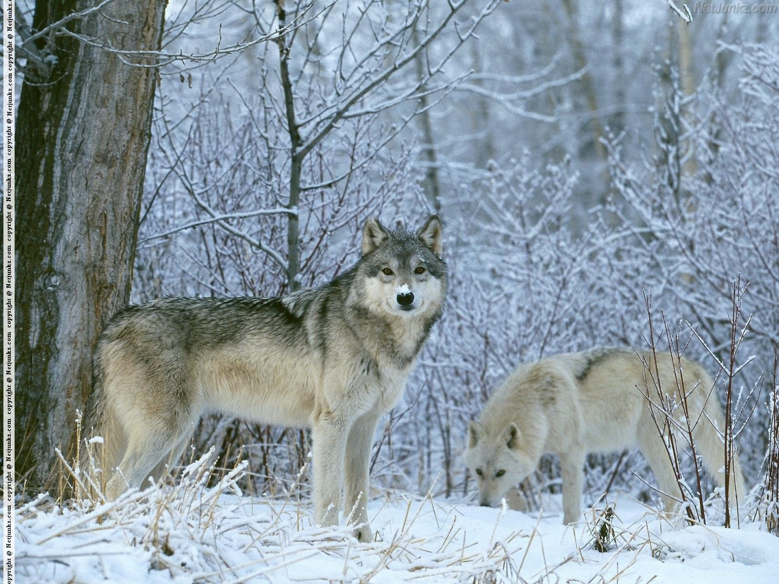 winter - wolves in the winter forest | Winter Wonderland | Pinterest ...