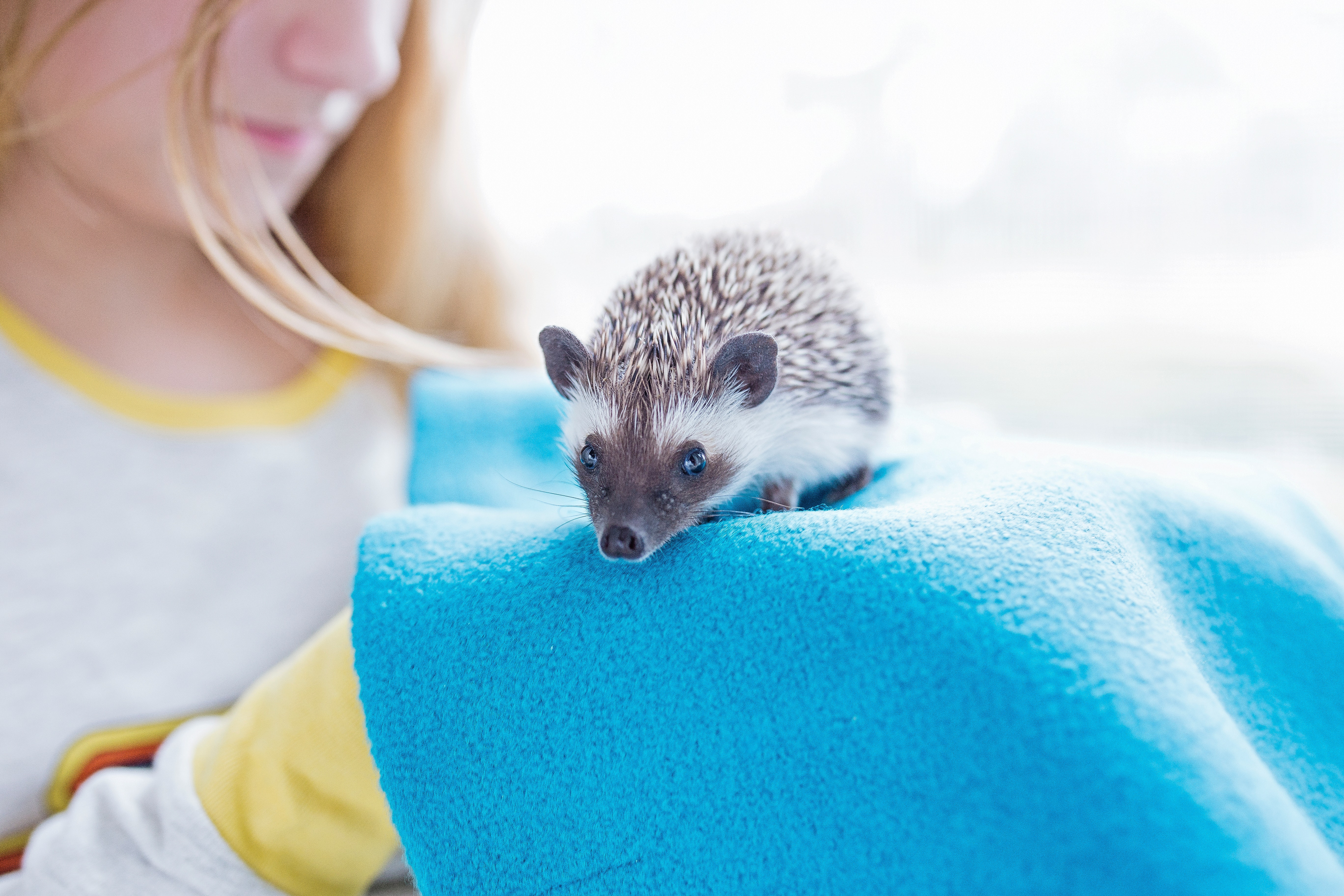 Woman Near Brown and White Rodent, Adorable, Hedgehog, Precious, Pet, HQ Photo