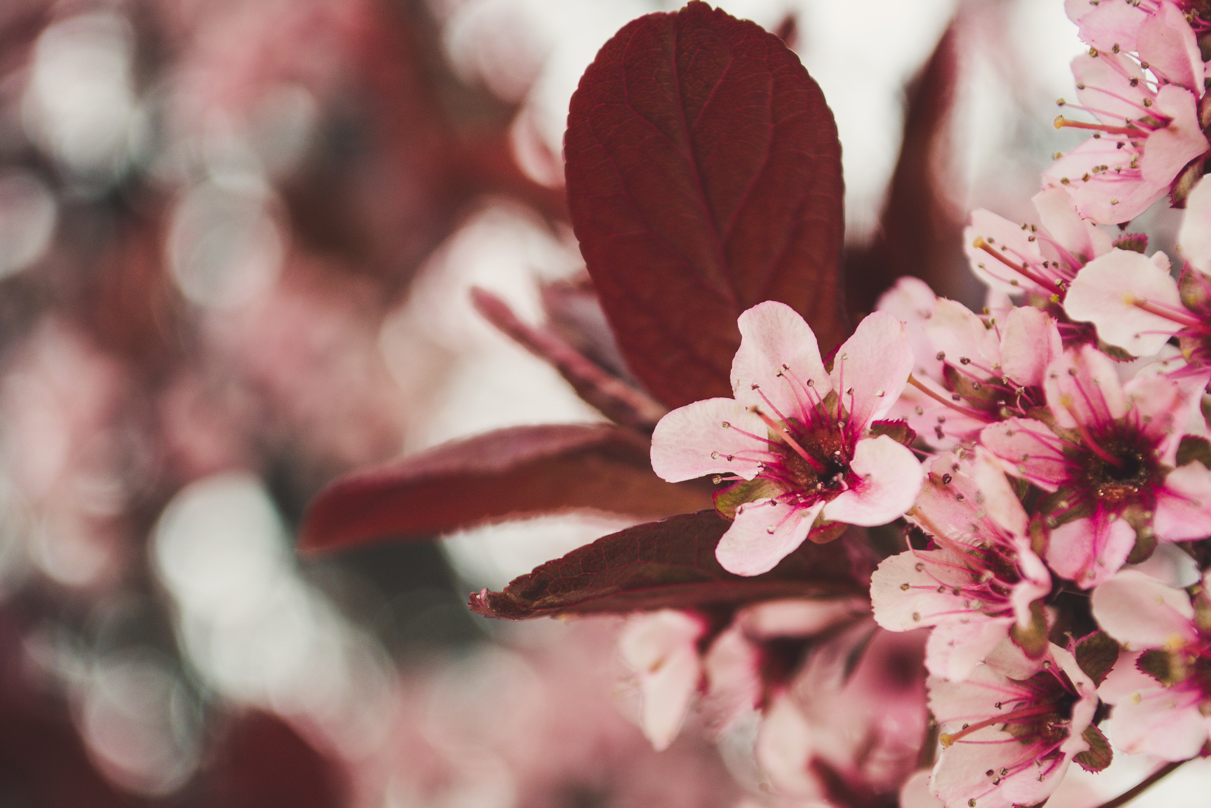 Wonderful cherry blossoms in spring photo