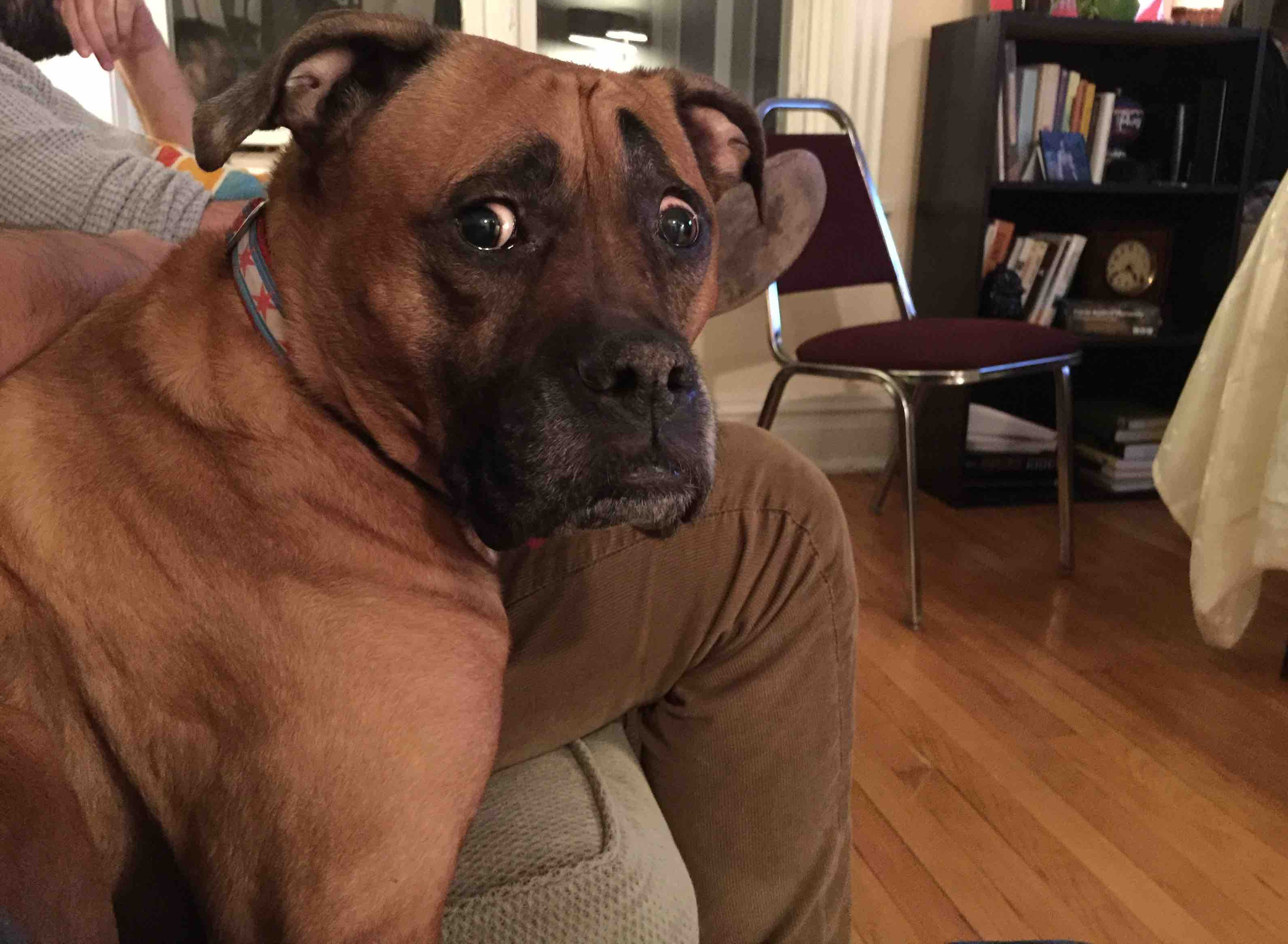 My friend's dog is always concerned about everything : aww