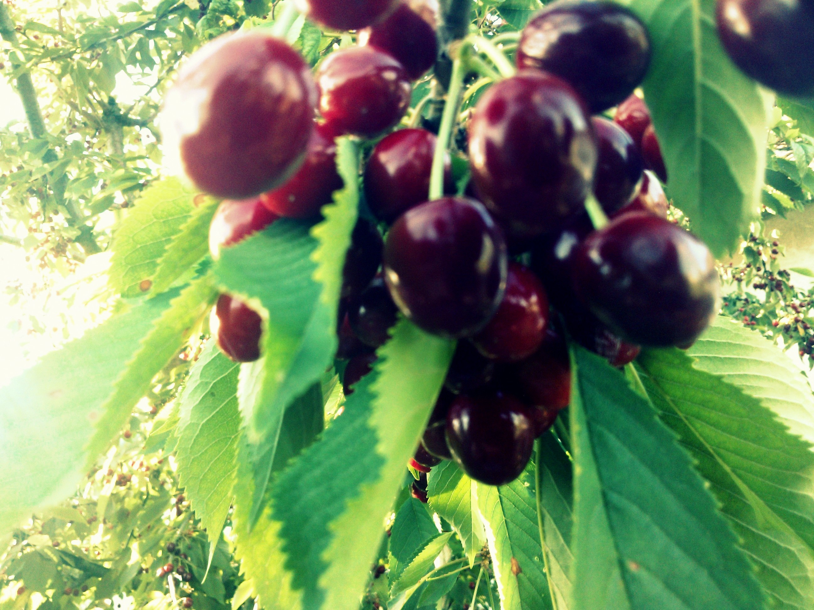 Misc: Red Green Cherry Likes Yammy Fruits Cherries Full HD 1080p ...
