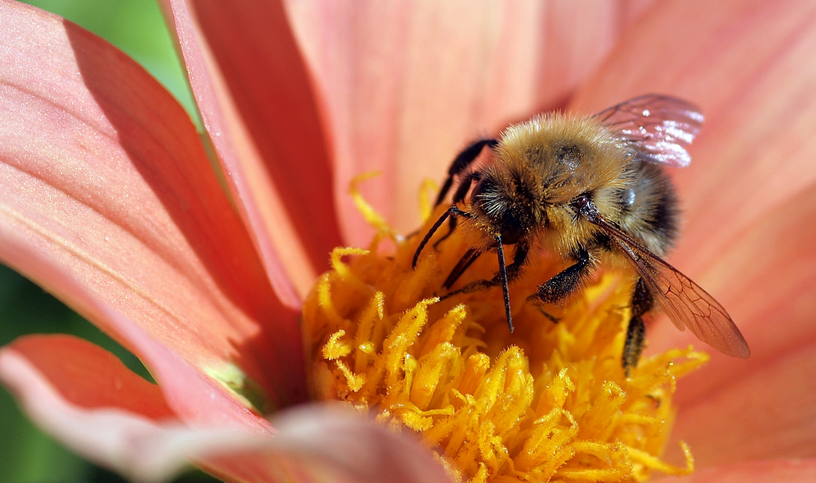 Yellow and black bee photo