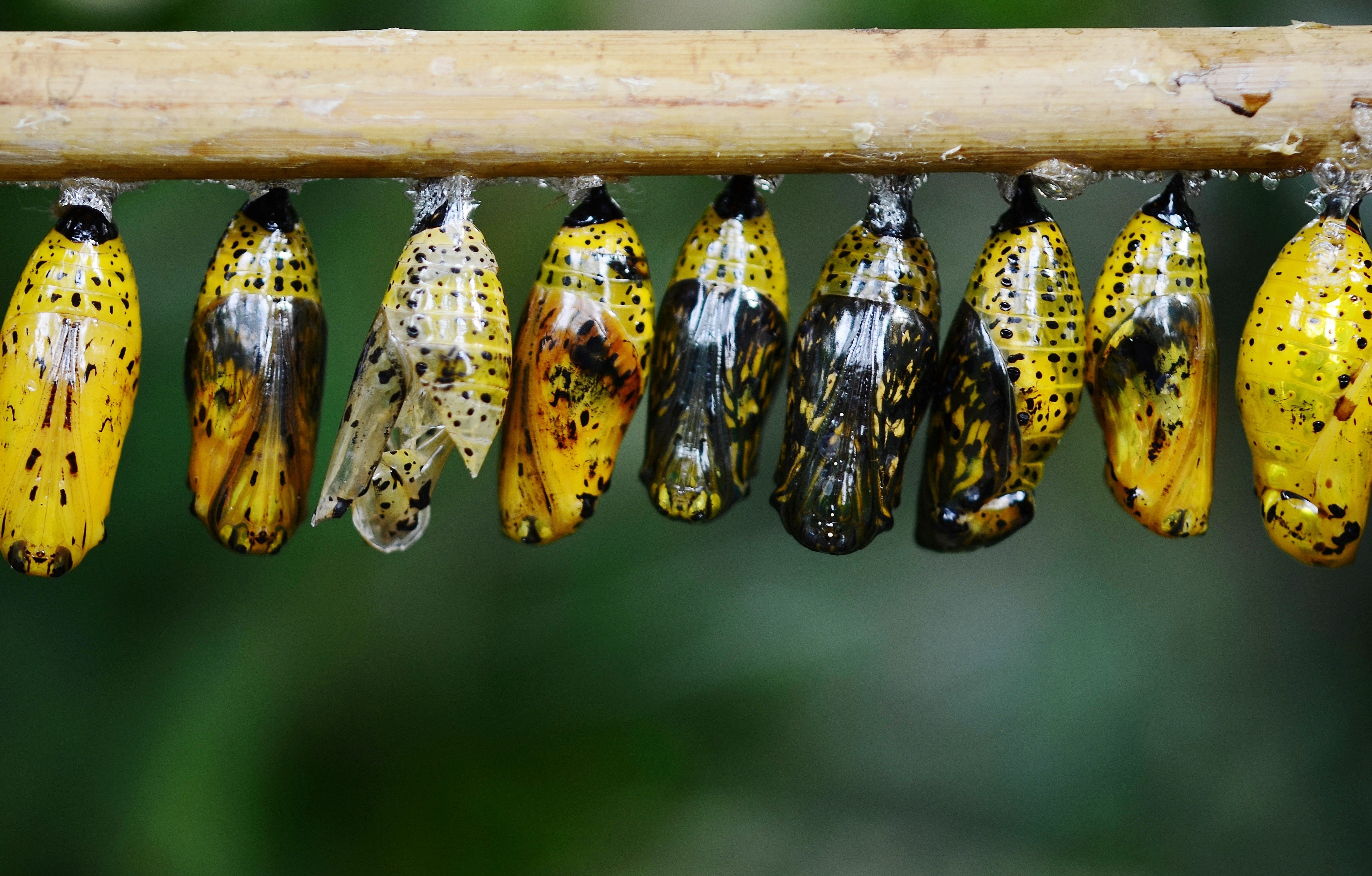 Yellow and black butterflies cocoon photo