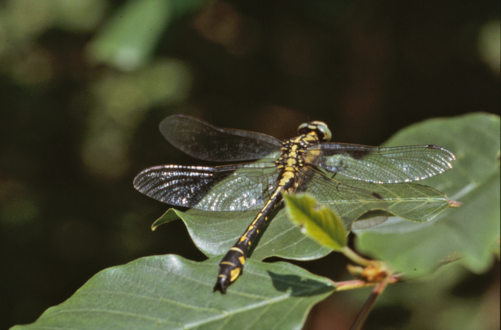 Yellow and black dragonfly photo