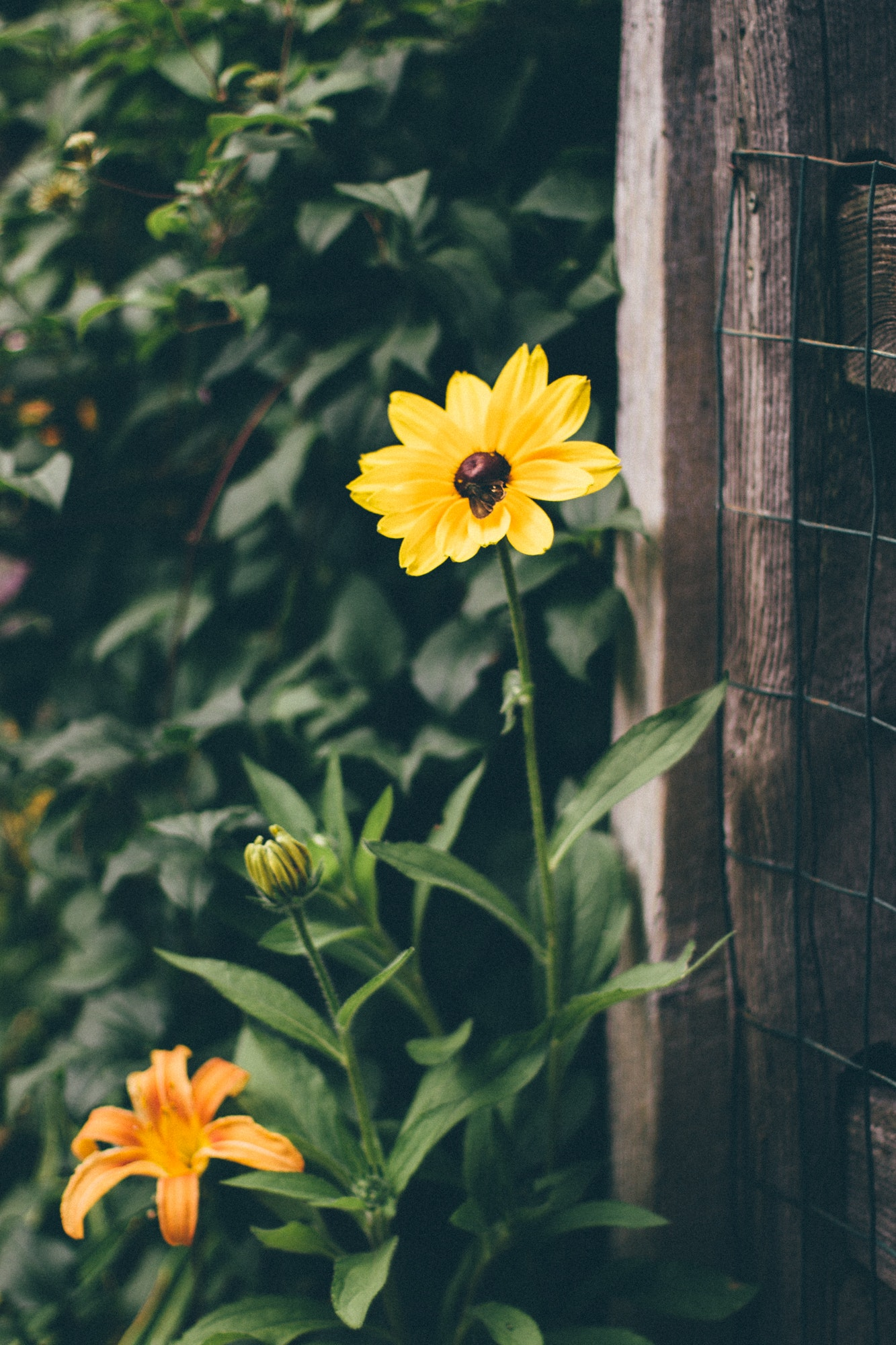 Yellow and black flower infront of brown wood frame fence photo