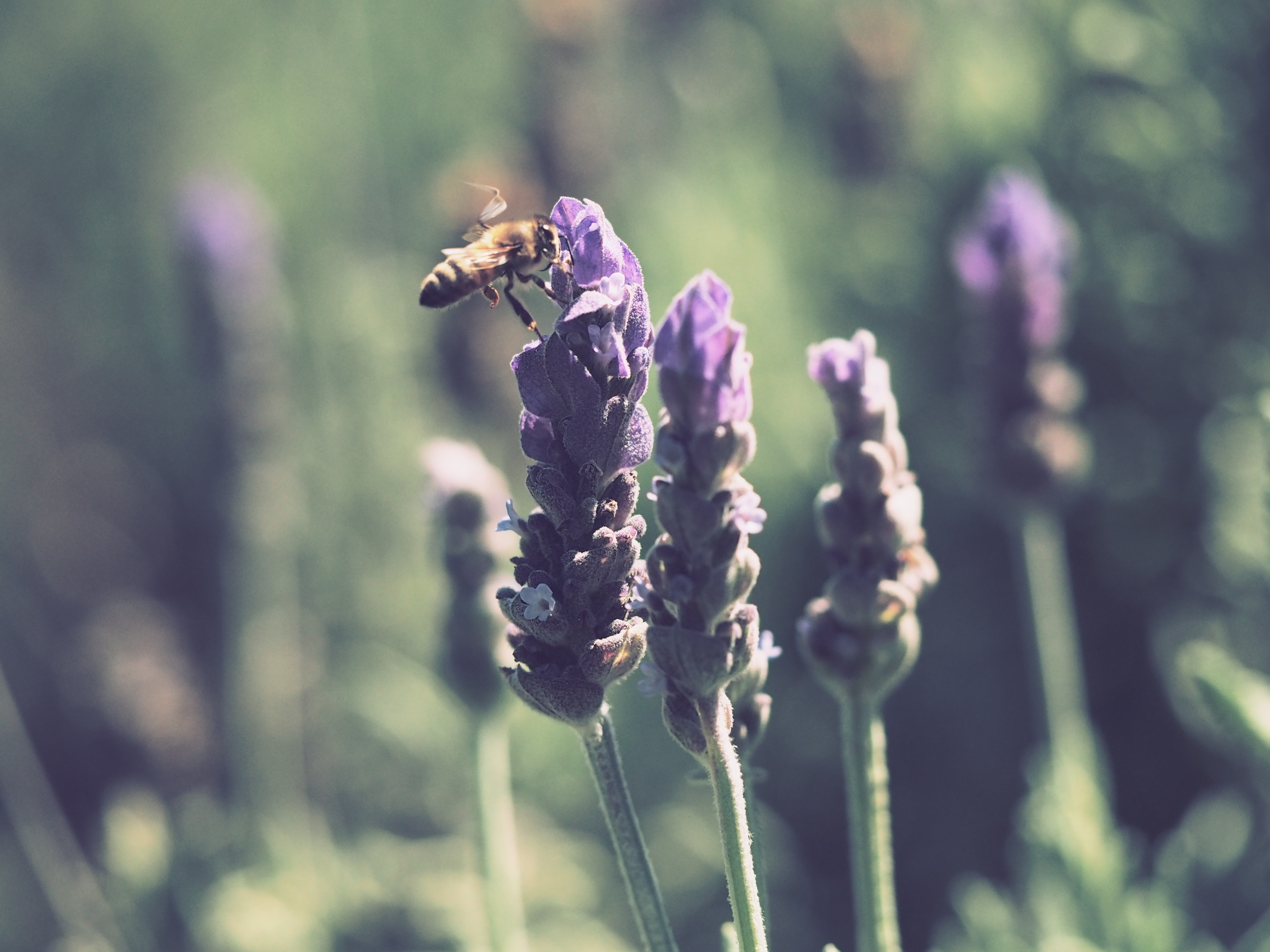 Yellow and black honey bee on purple lavender flower photo