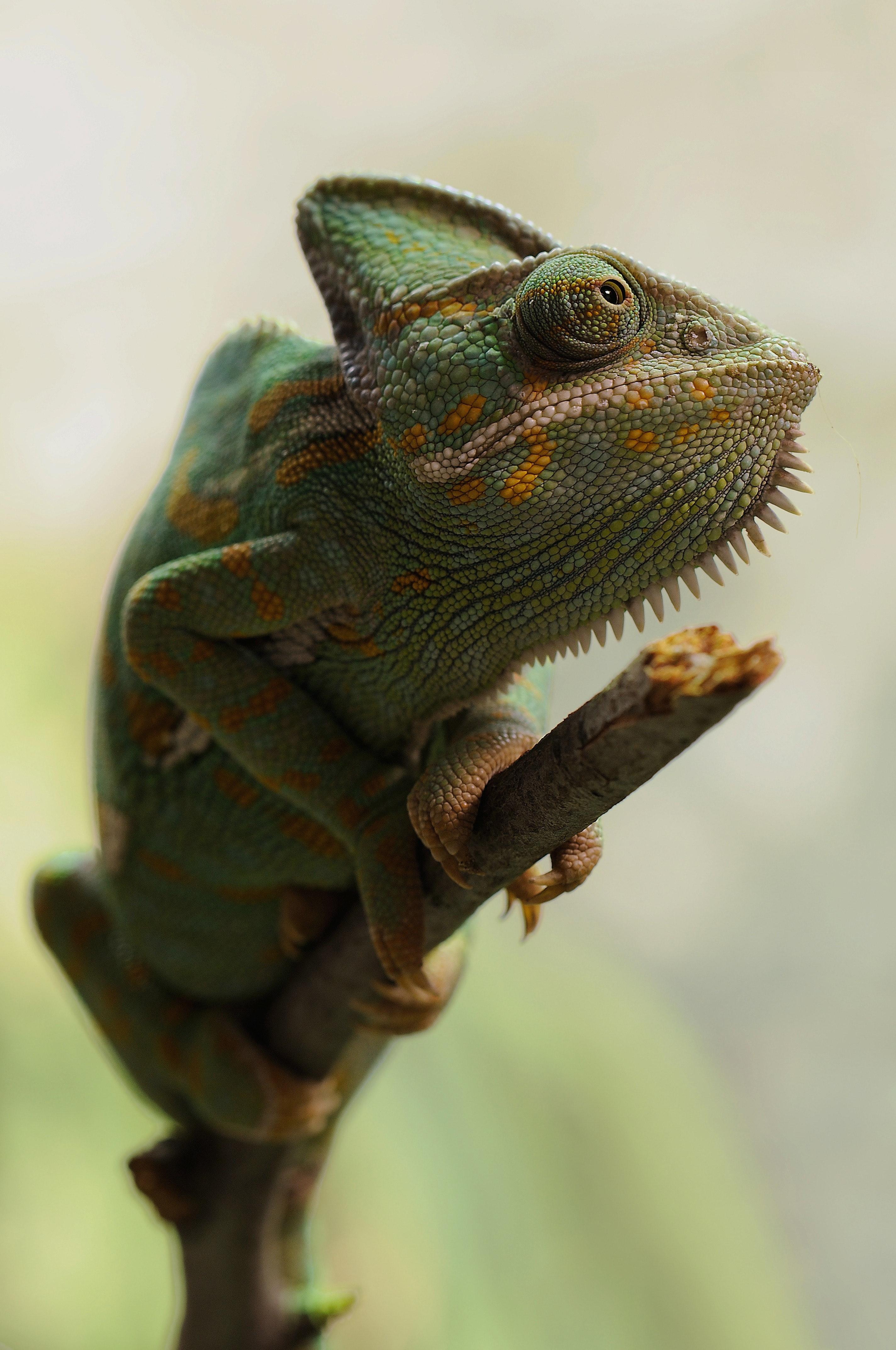 Yellow and green coated lizard photo