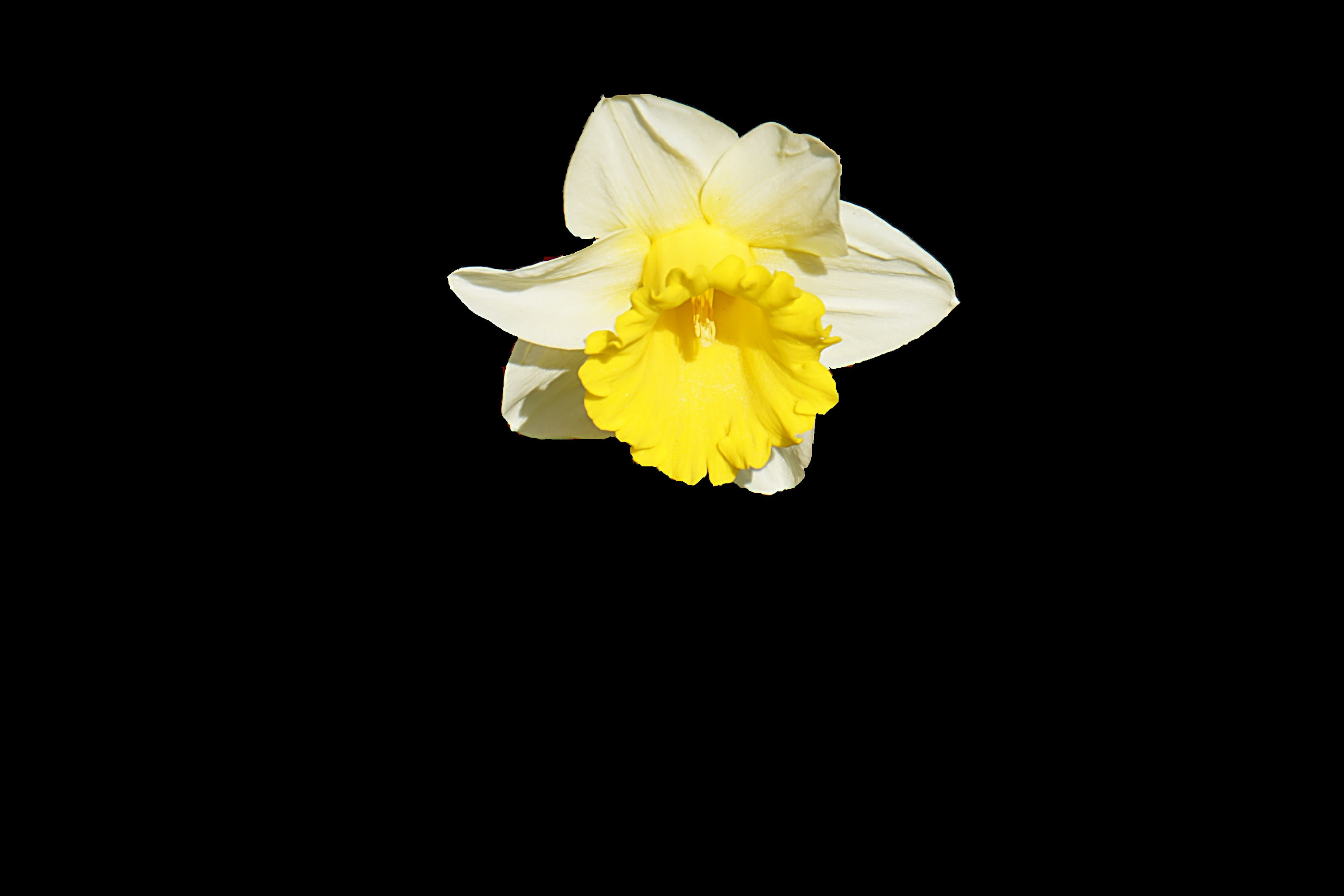 Yellow and white petaled flower photo