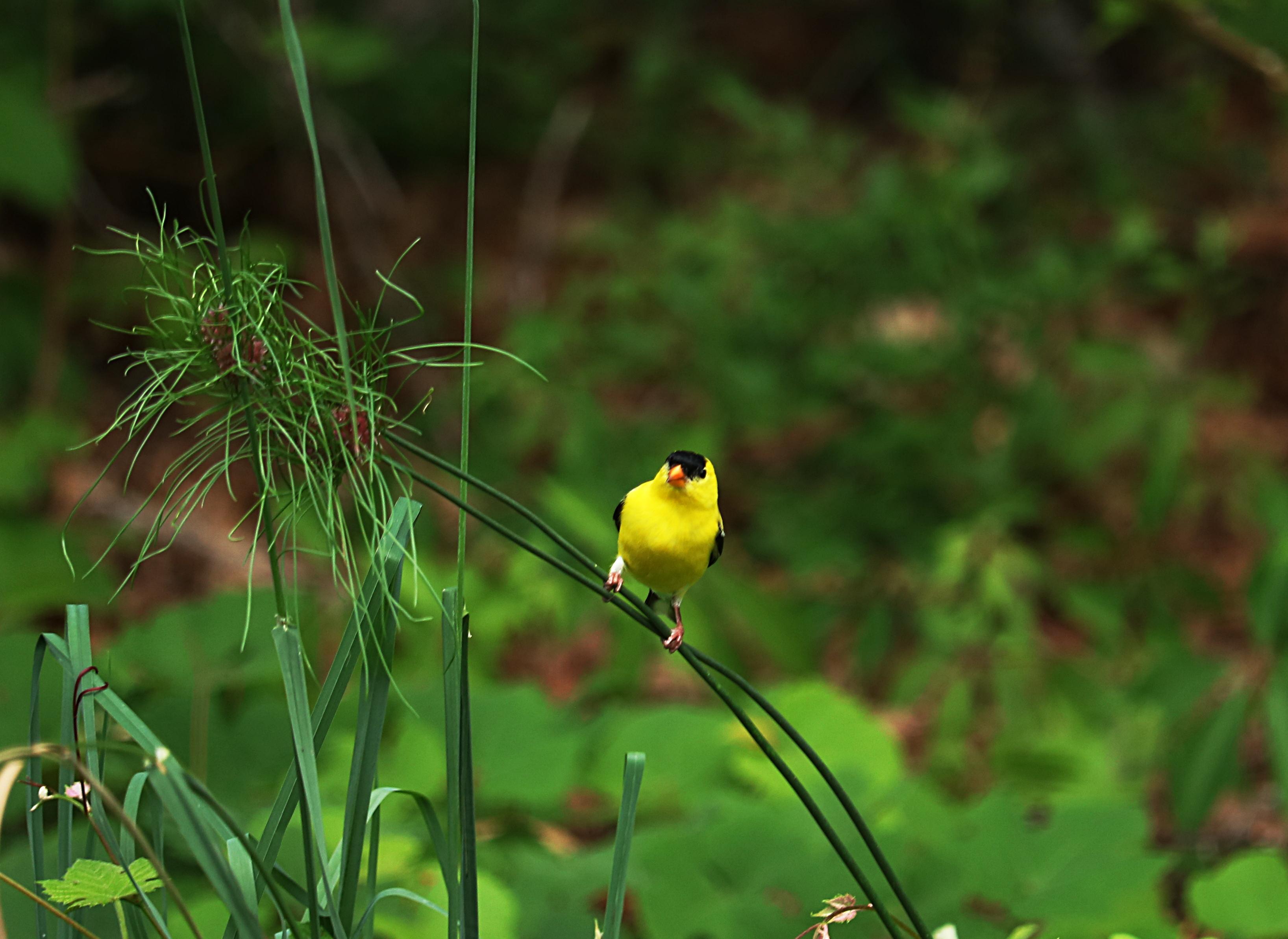 Yellow bird photo