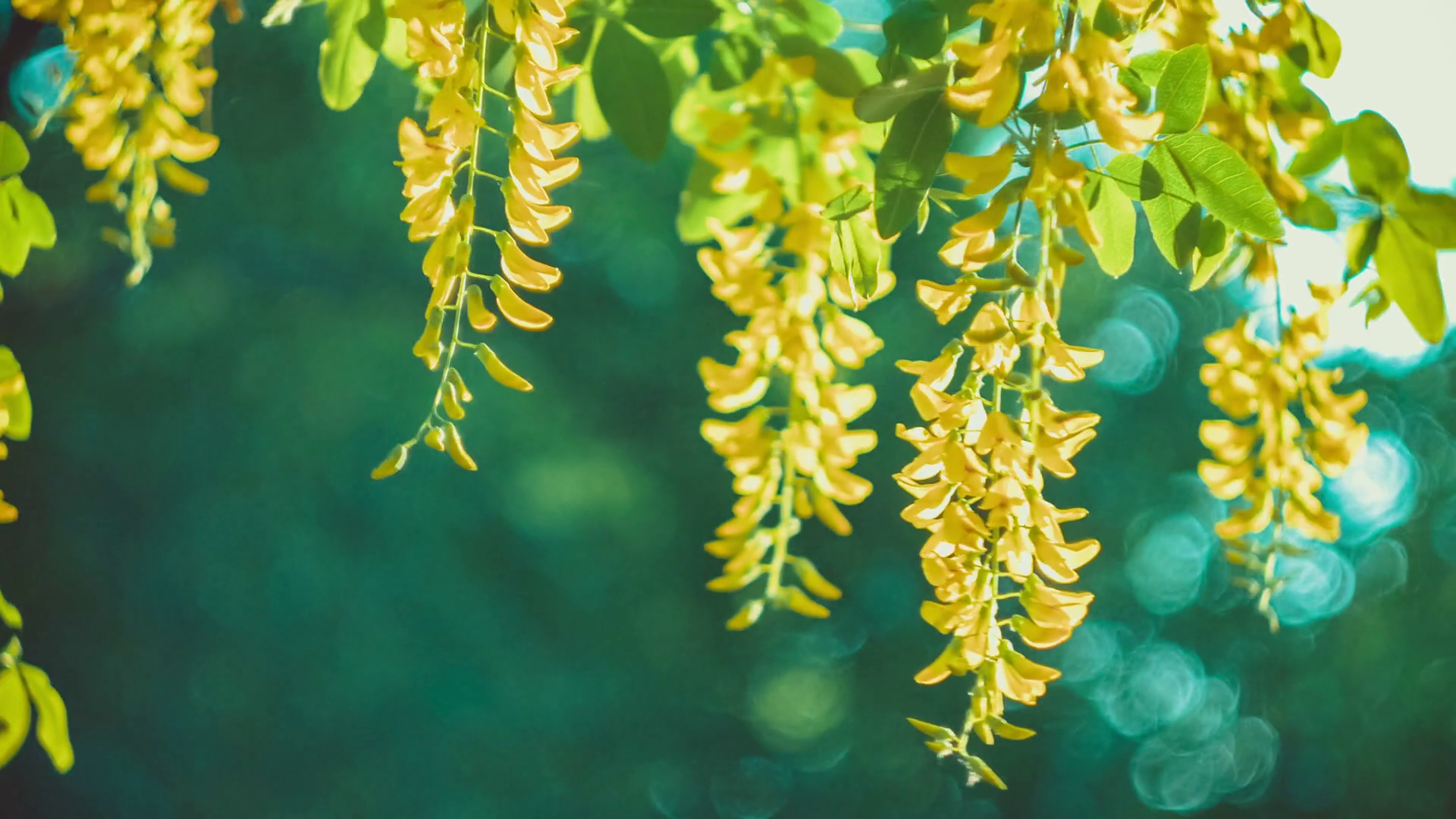 Free photo yellow blossom yellow summer garden free download yellow acacia blossom branch wind moving the hanging flowers mightylinksfo
