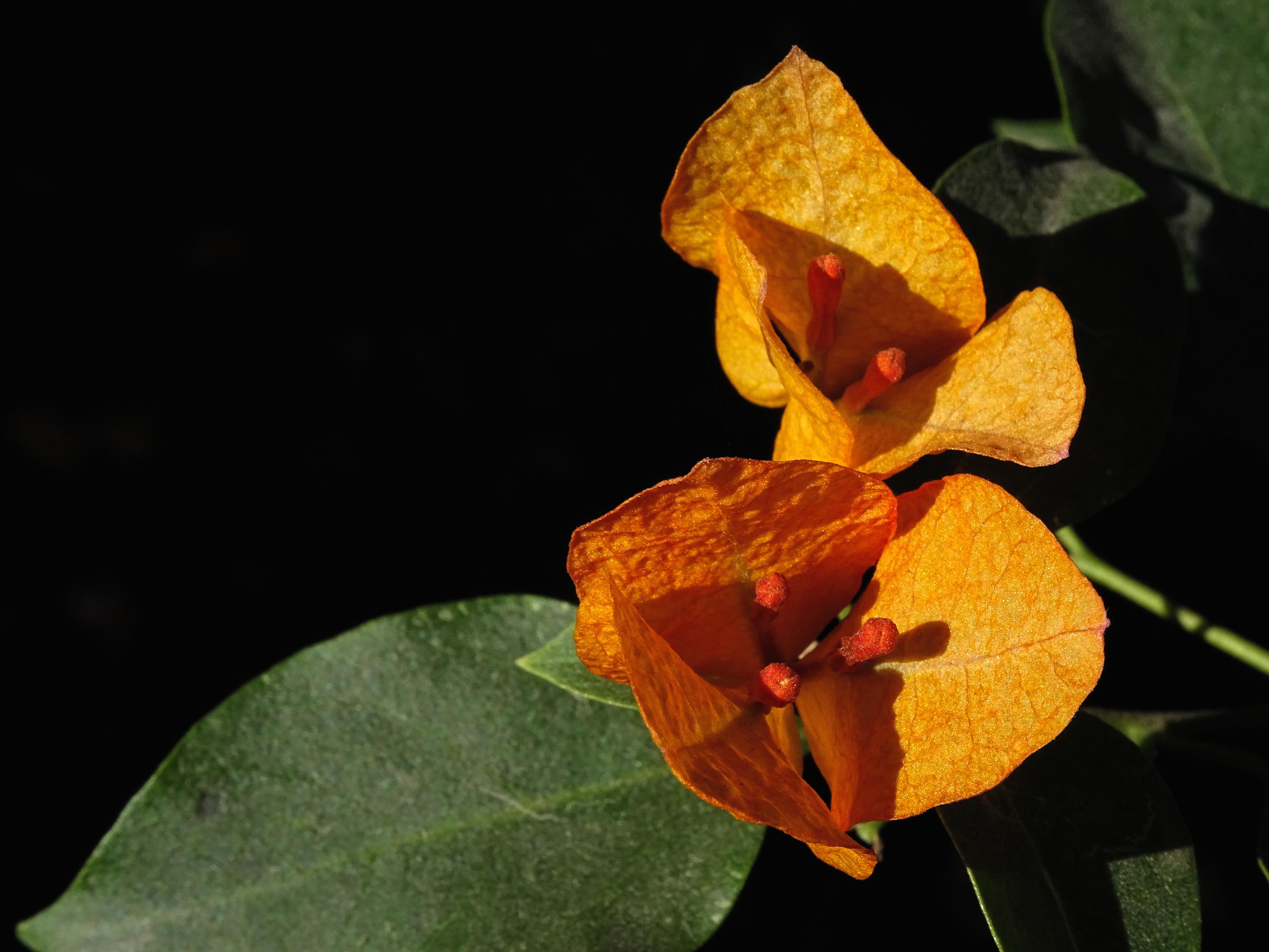 Yellow Bougainvillea Flower, Background, Garden, White, Vibrant, HQ Photo