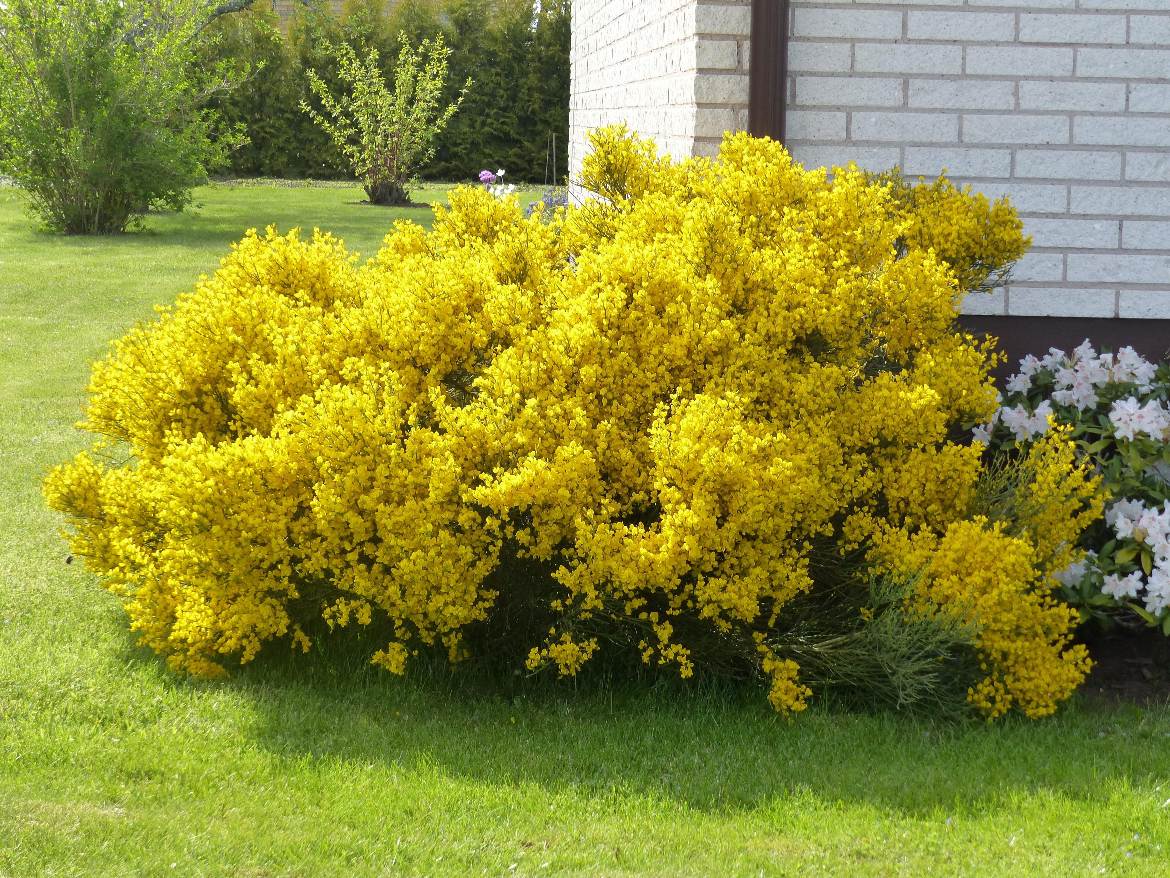 Free photo yellow bush tree yellow plant free download jooinn yellow bush mightylinksfo