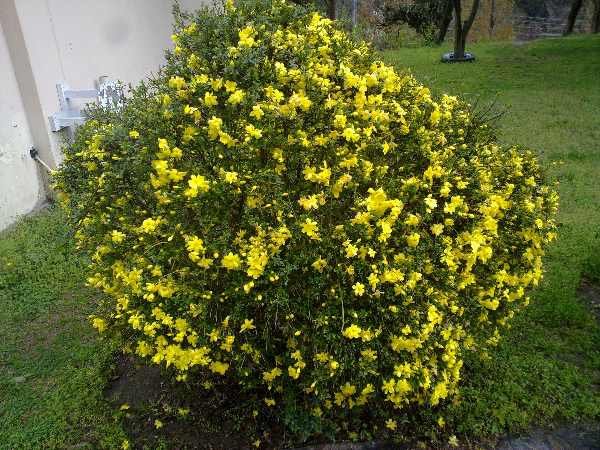 Free Photo Yellow Bush Tree Yellow Plant Free Download Jooinn