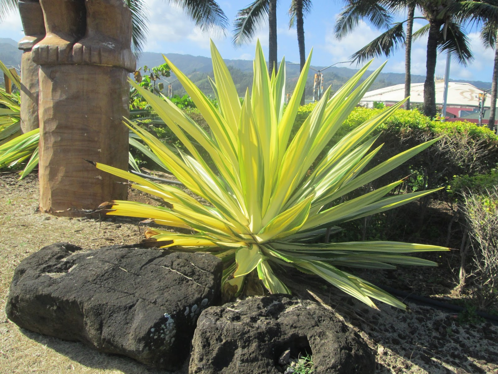 Garden Notes from Hawaii: Agave Americana var. medio-picta alba