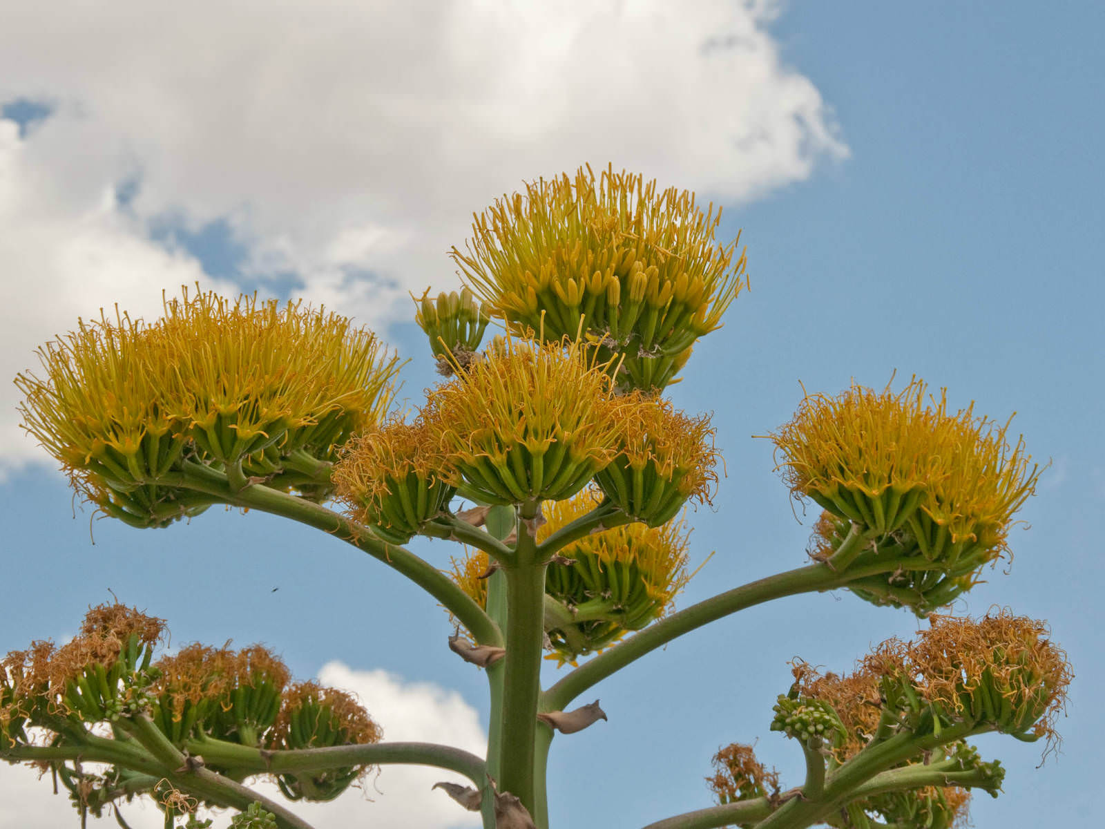 Agave americana - Century Plant | World of Flowering Plants