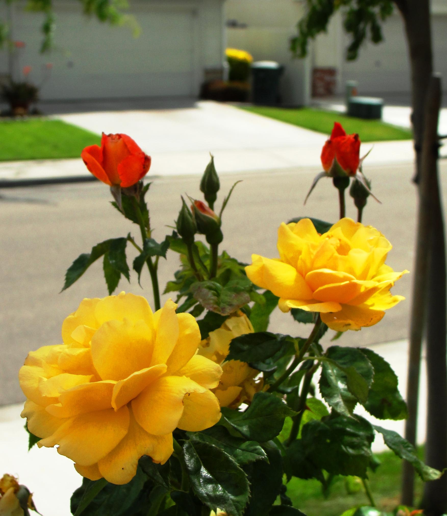 Pink Rose Meaning  Pink Rose Symbolism  Gold Florist