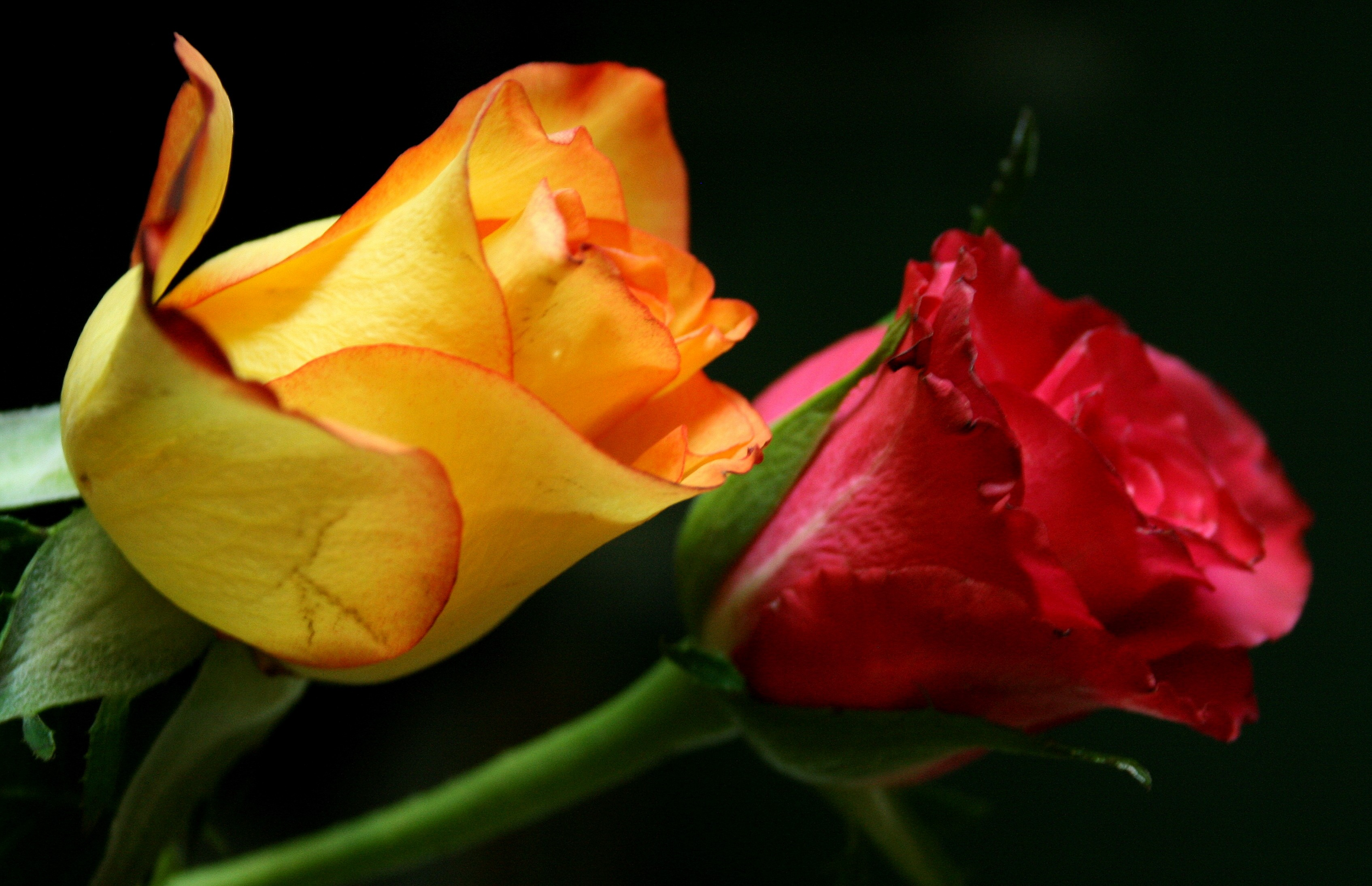 Free Photo Yellow Colored Rose Soft Yellow Smooth Free