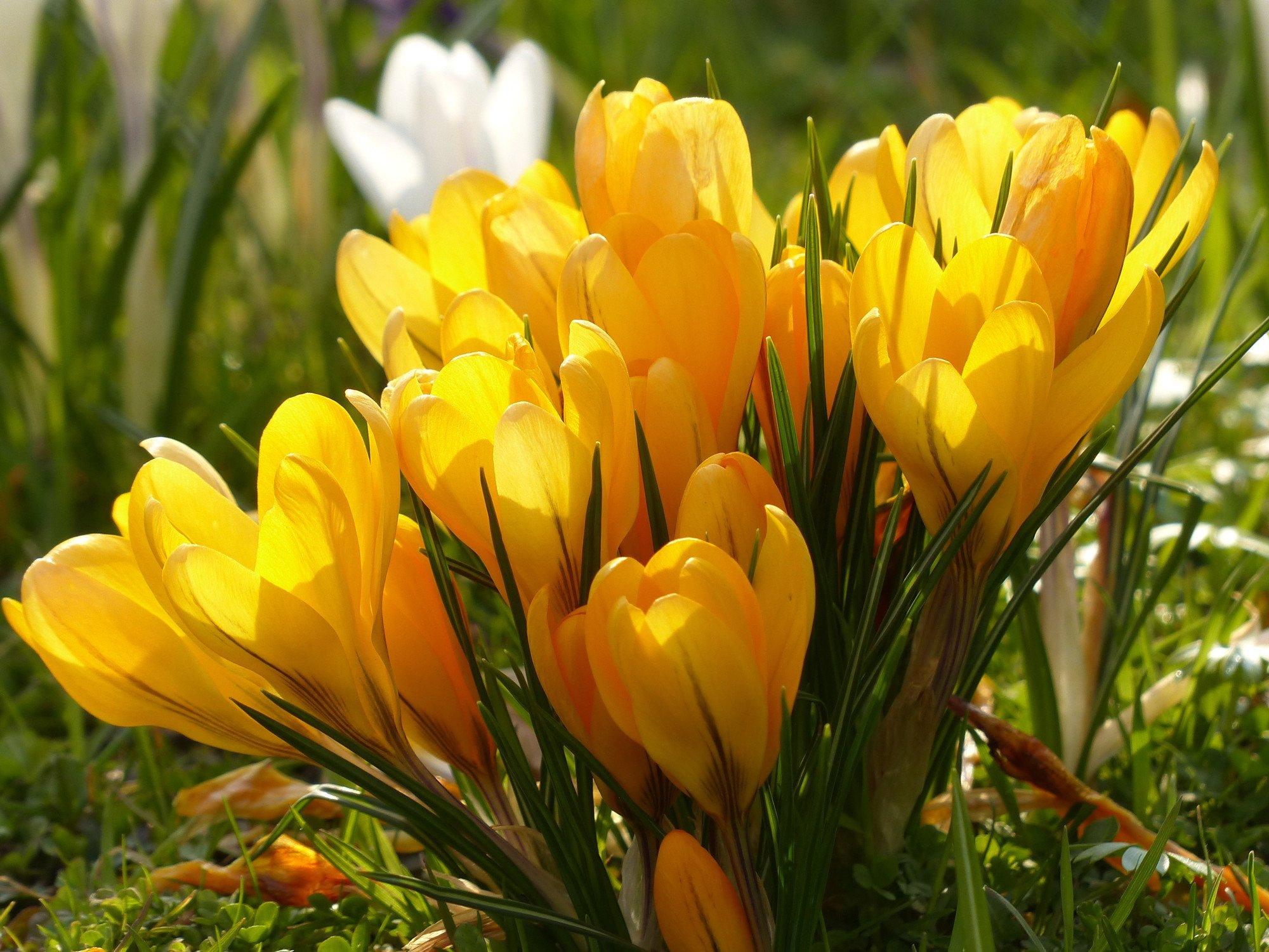 Free Photo Yellow Crocus Flower Spring Yellow Nature Free