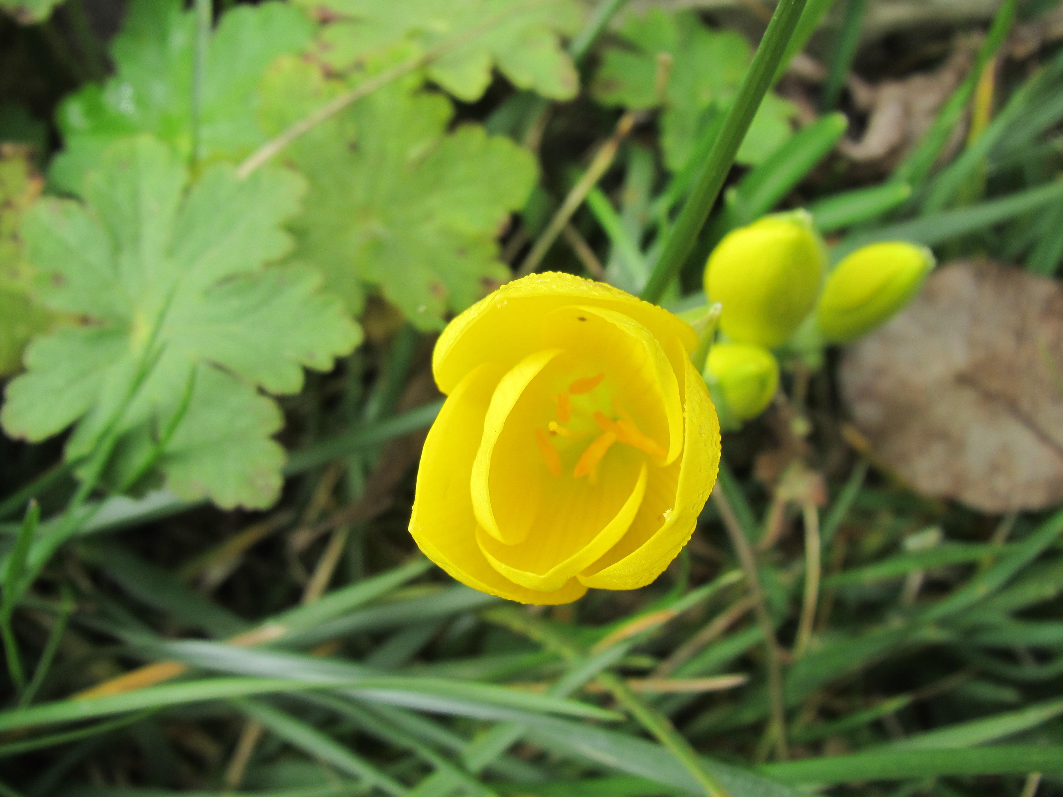 Free photo yellow crocus flower spring yellow nature free yellow crocus flower spring yellow nature garden hq photo mightylinksfo