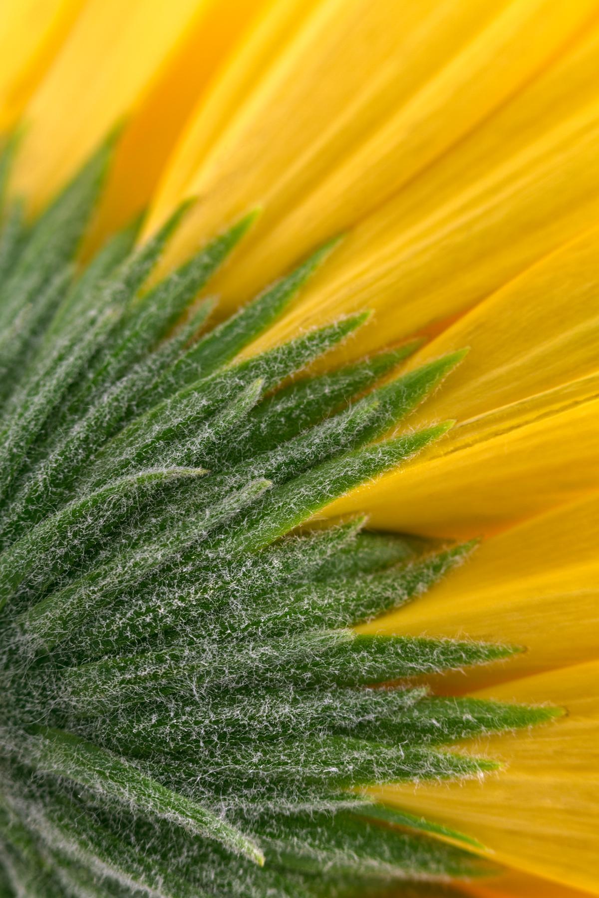 Yellow daisy macro - hdr photo