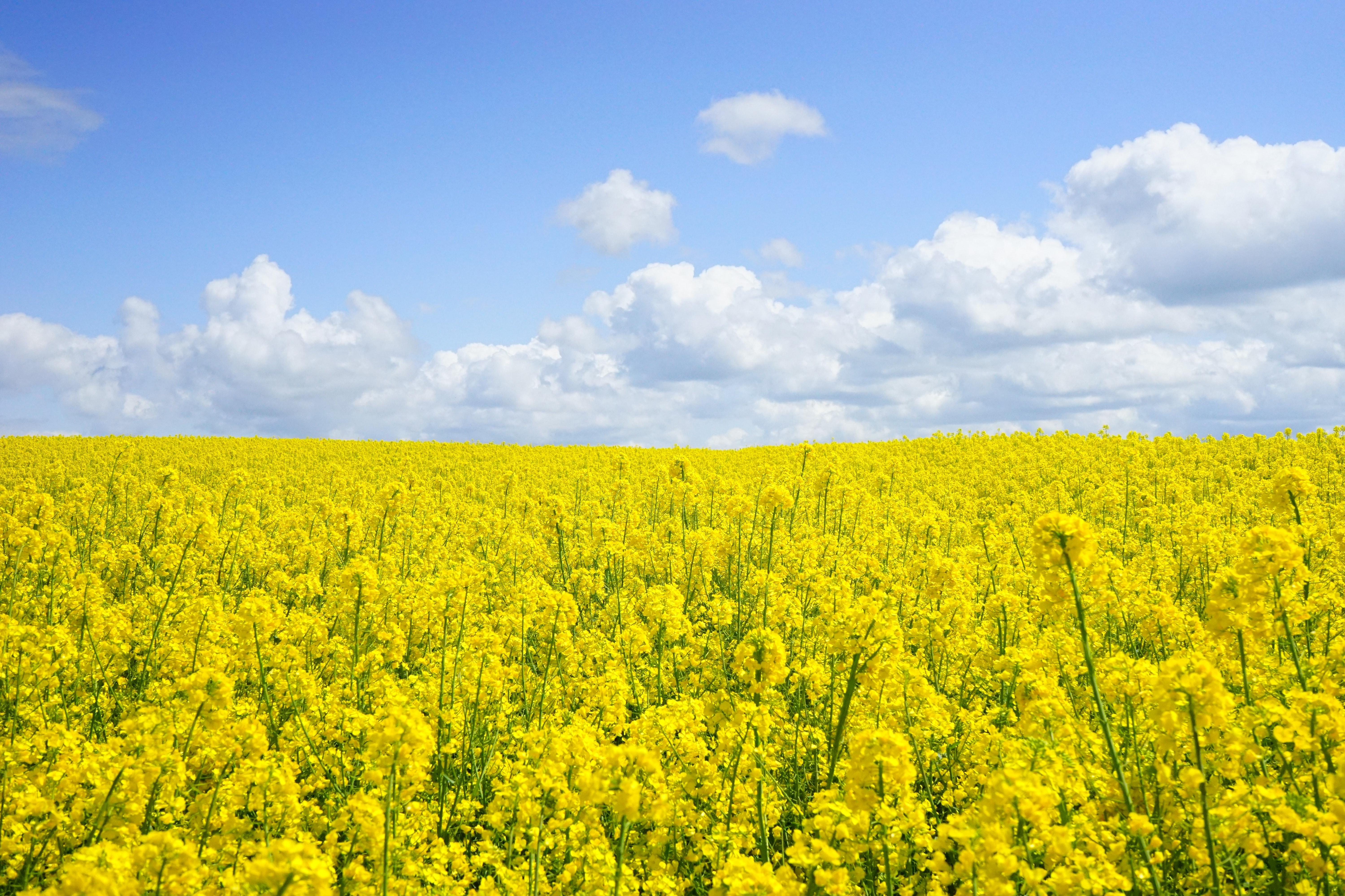 Yellow Flower Field Under Blue Cloudy Sky during Daytime · Free ...