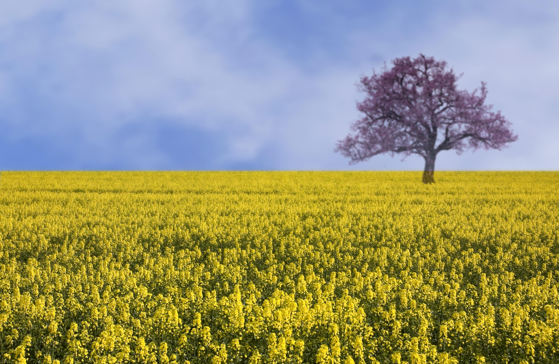 Yellow field landscape, Blue, Cloud, Contrast, Field, HQ Photo