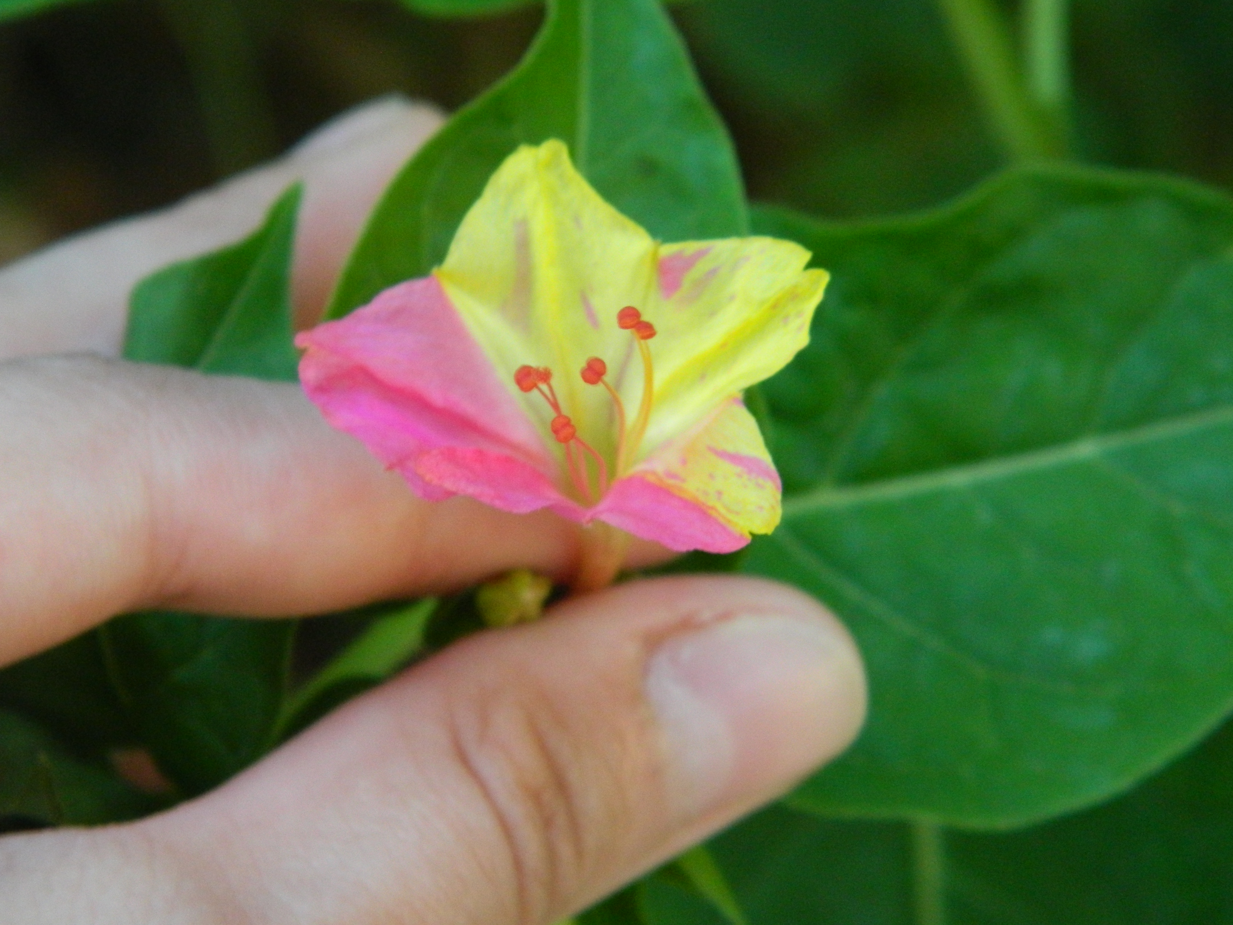 Free Photo Yellow Flower Pink Yellow Holding Non Commercial