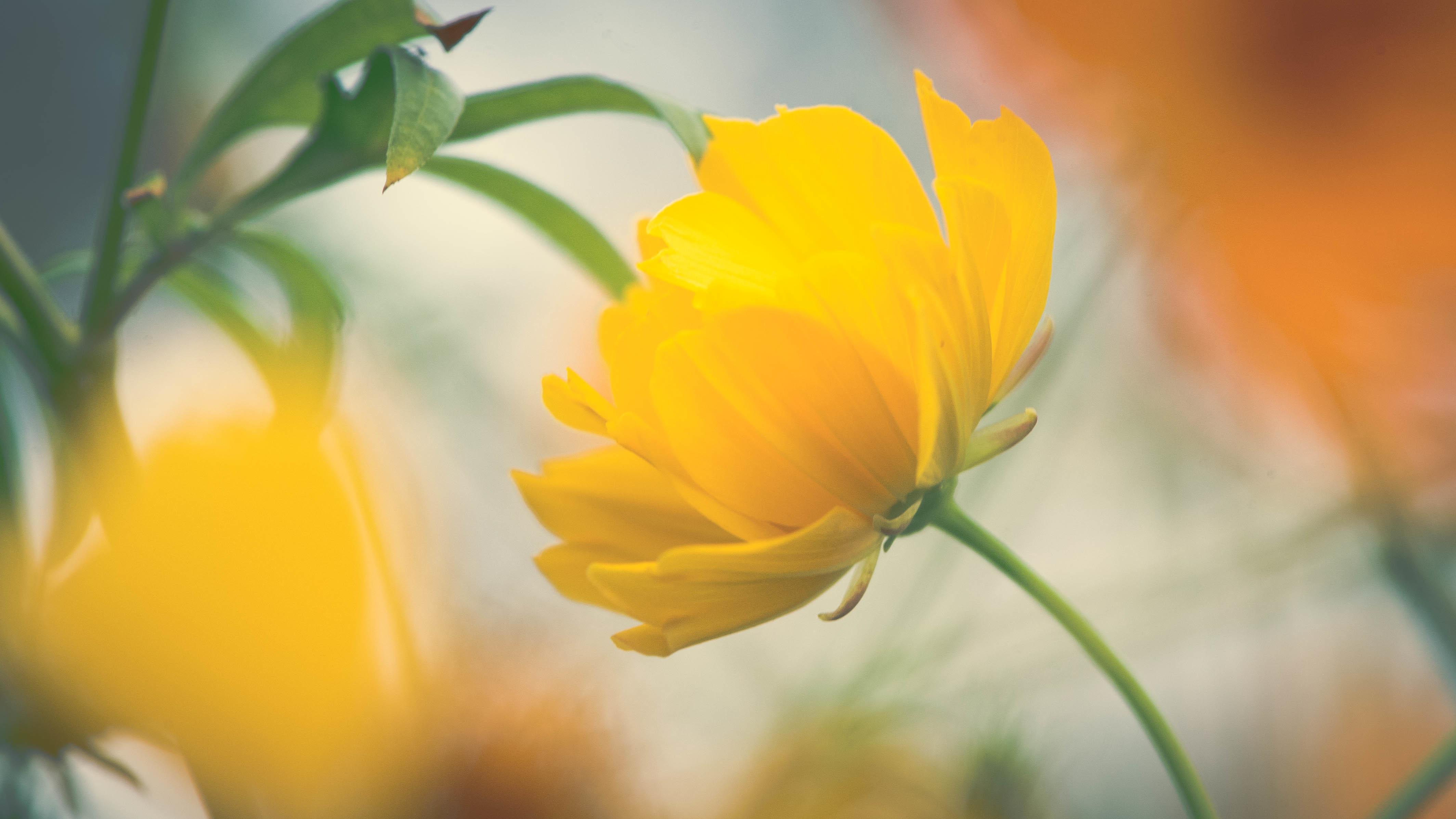 Free Photo Yellow Flower Photo Nature Macro Hd Wallpaper Free